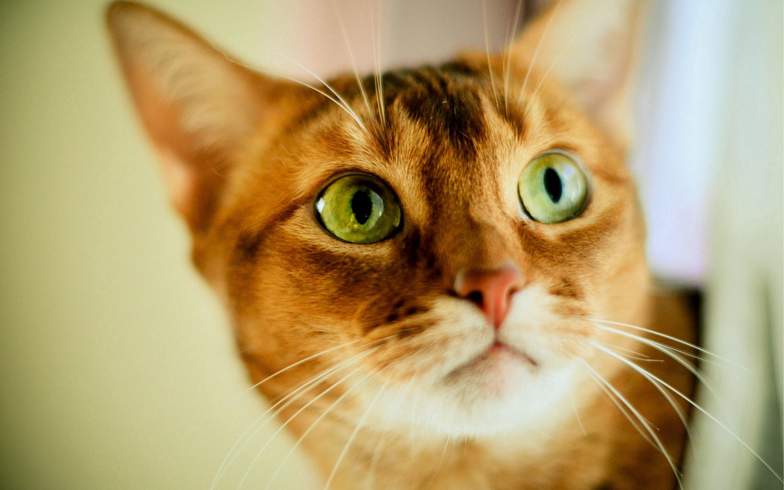 61526 download wallpaper Animals, Cat, Muzzle, Sight, Opinion, Shine, Light, Striped screensavers and pictures for free