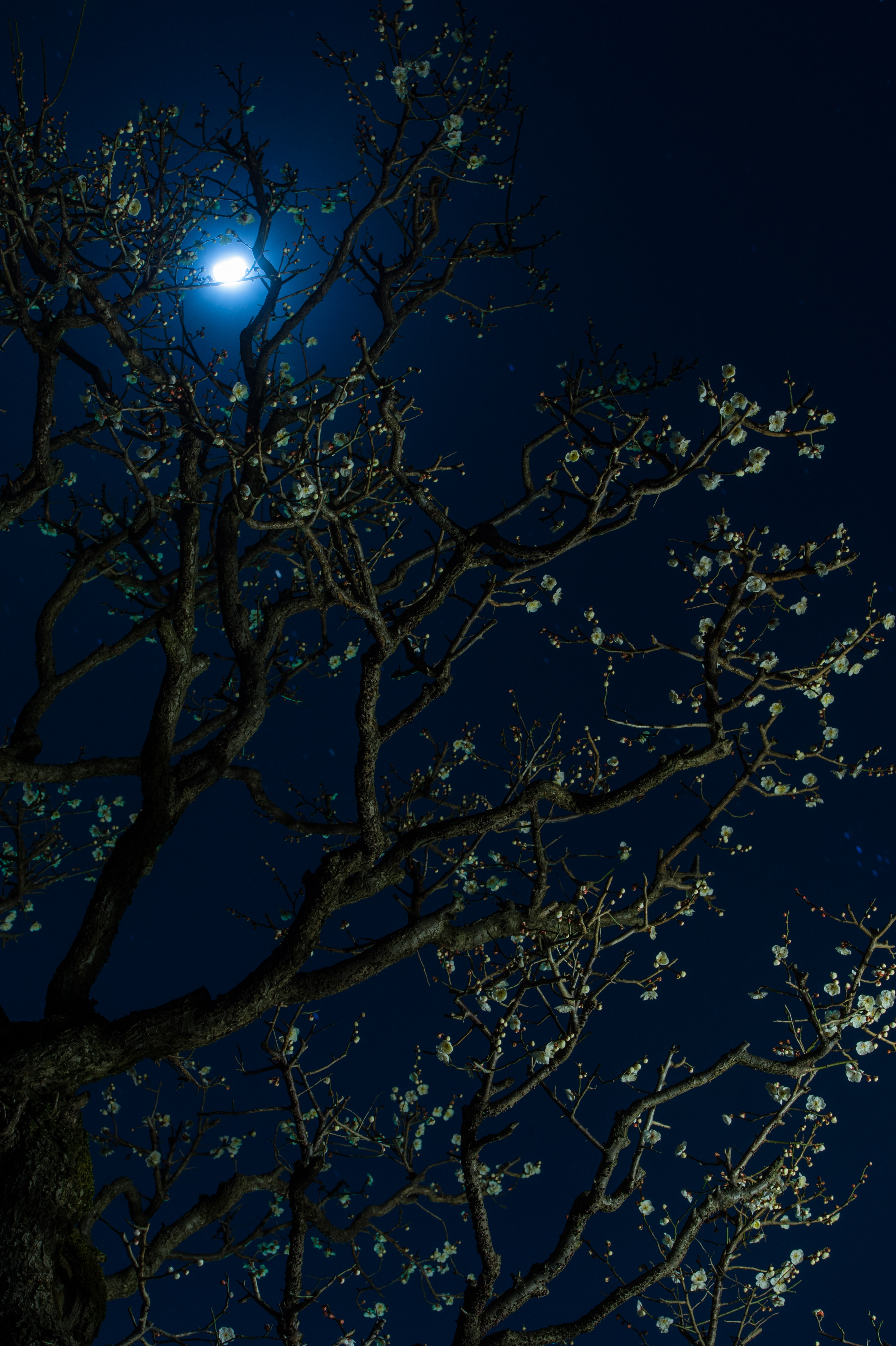 80076 Заставки и Обои Вишня на телефон. Скачать Цветы, Вишня, Ночь, Луна, Темные, Дерево, Темный картинки бесплатно