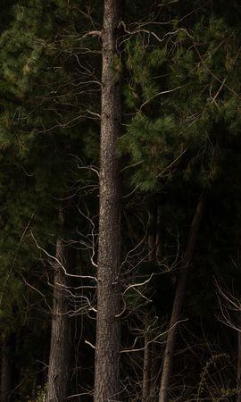 Скачать бесплатно картинку 94664: Природа, Деревья, Ветки, Кора, Сосны обои на телефон