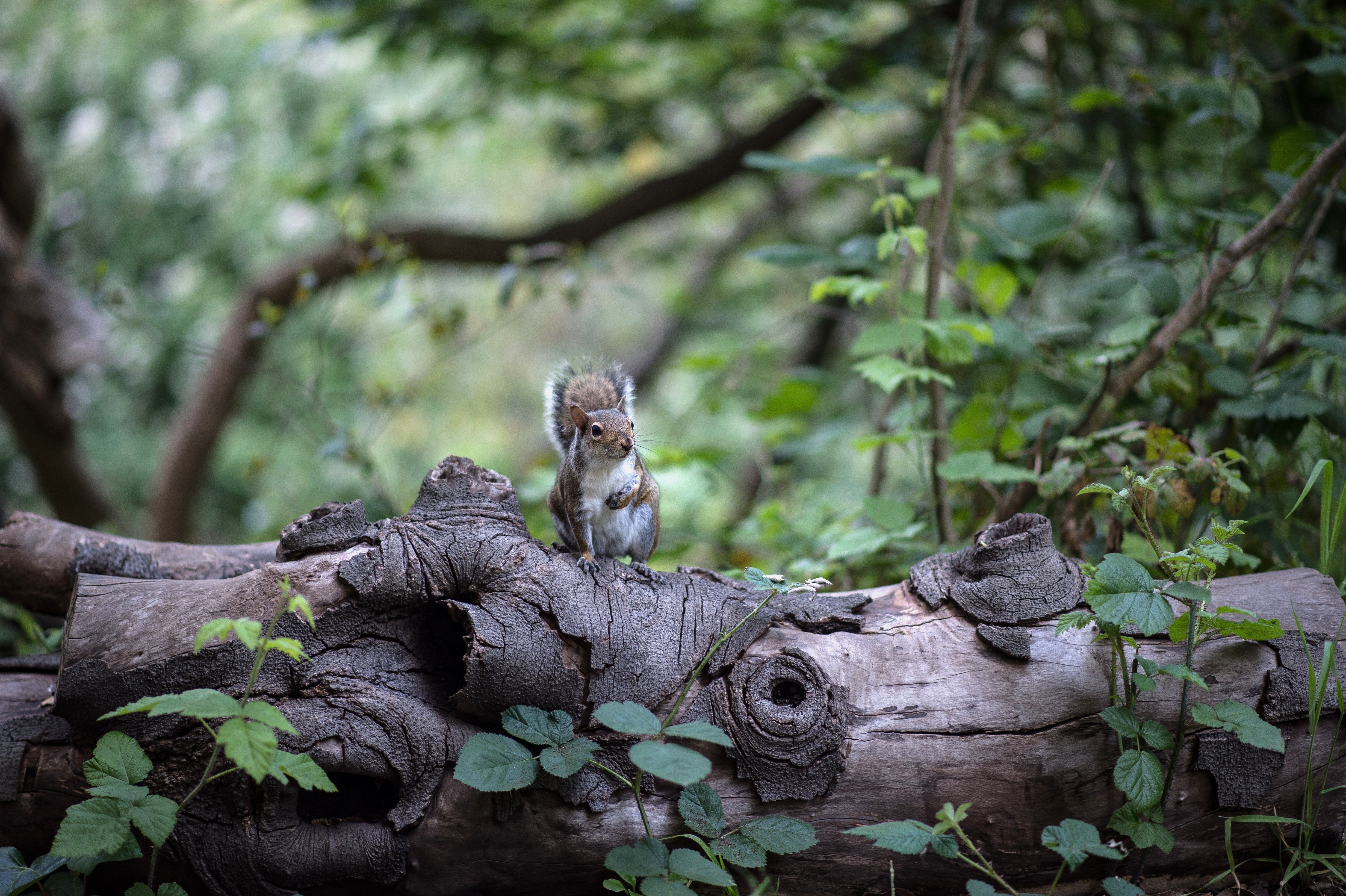 98598 download wallpaper Animals, Squirrel, Wood, Tree, Rodent, Is Sitting, Sits screensavers and pictures for free