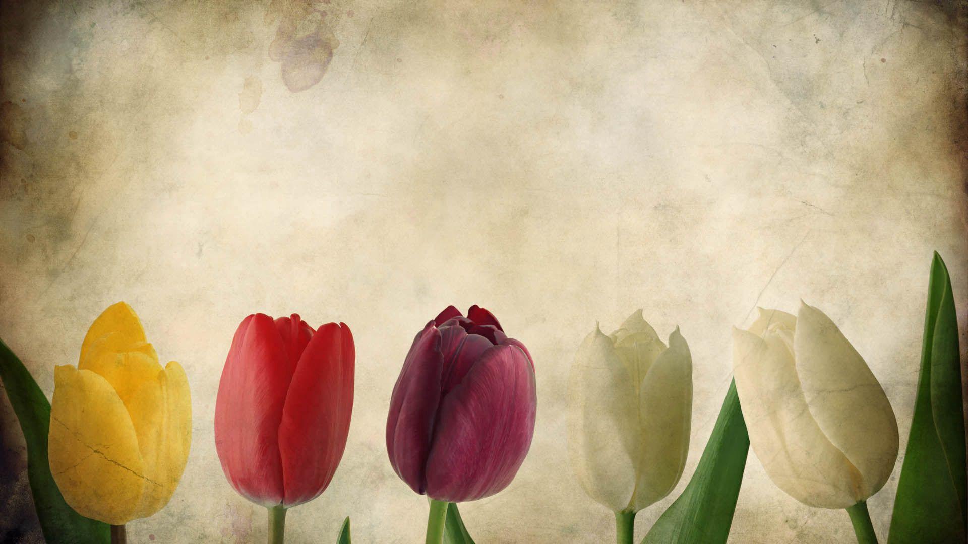 138798 скачать обои Цветы, Лепестки, Фон, Тюльпаны - заставки и картинки бесплатно