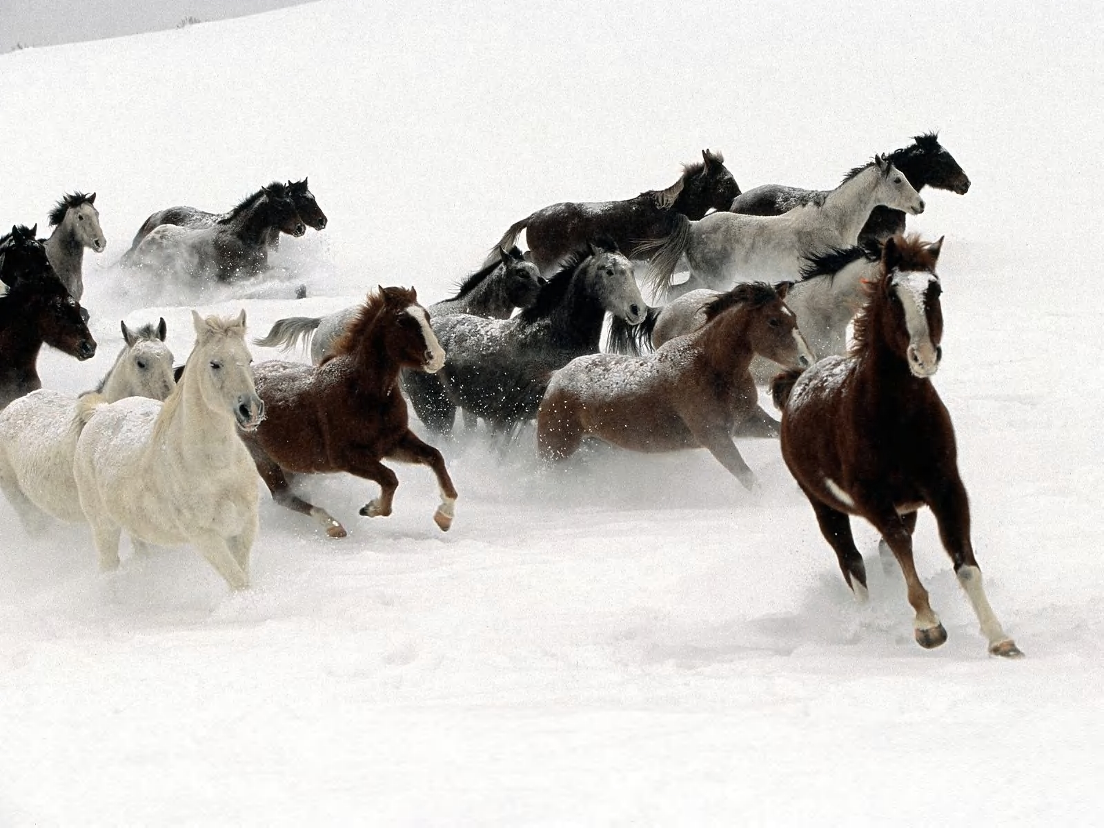 2538 download wallpaper Animals, Winter, Horses screensavers and pictures for free