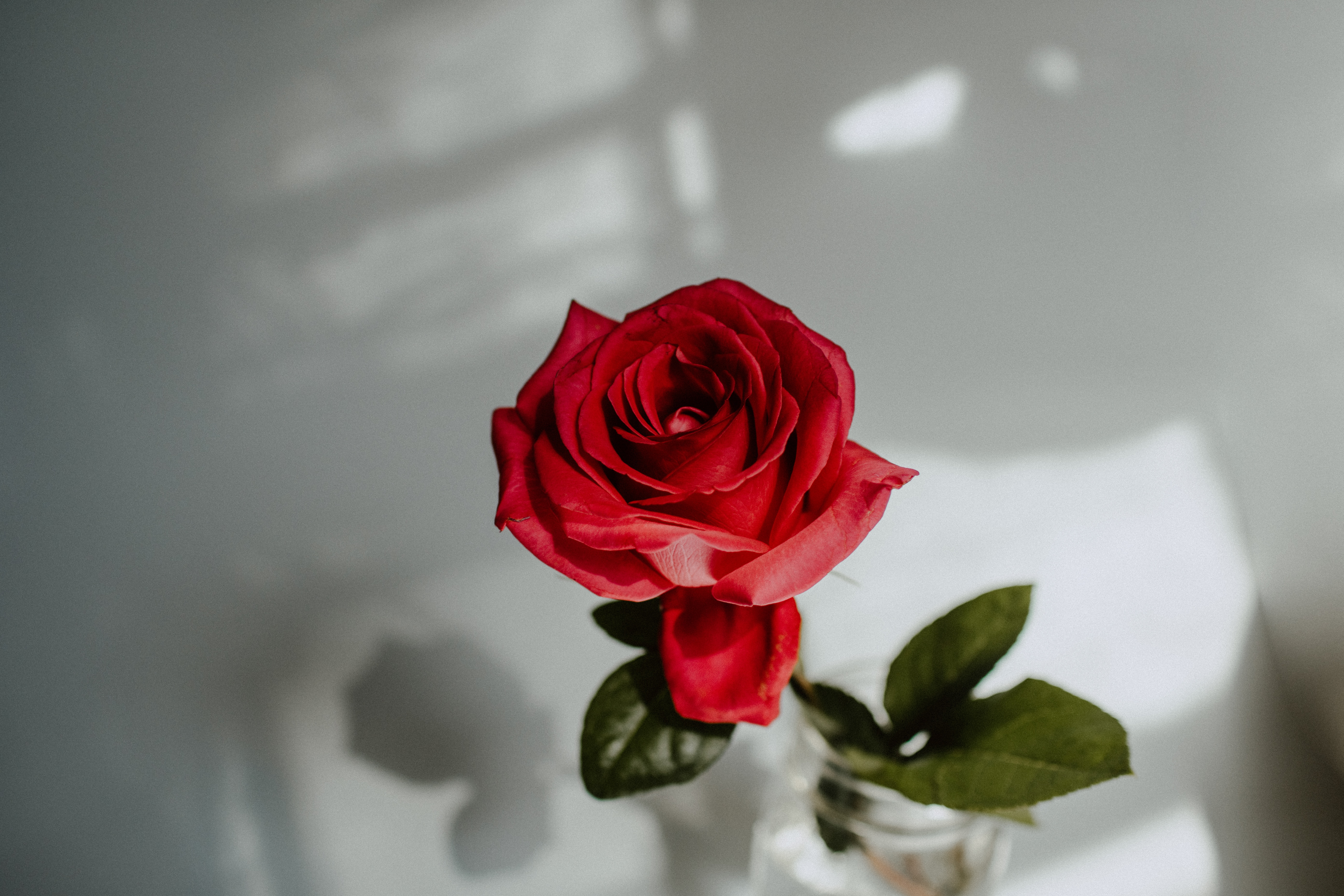 157243 скачать обои Цветок, Роза, Цветы, Красный, Крупный План - заставки и картинки бесплатно