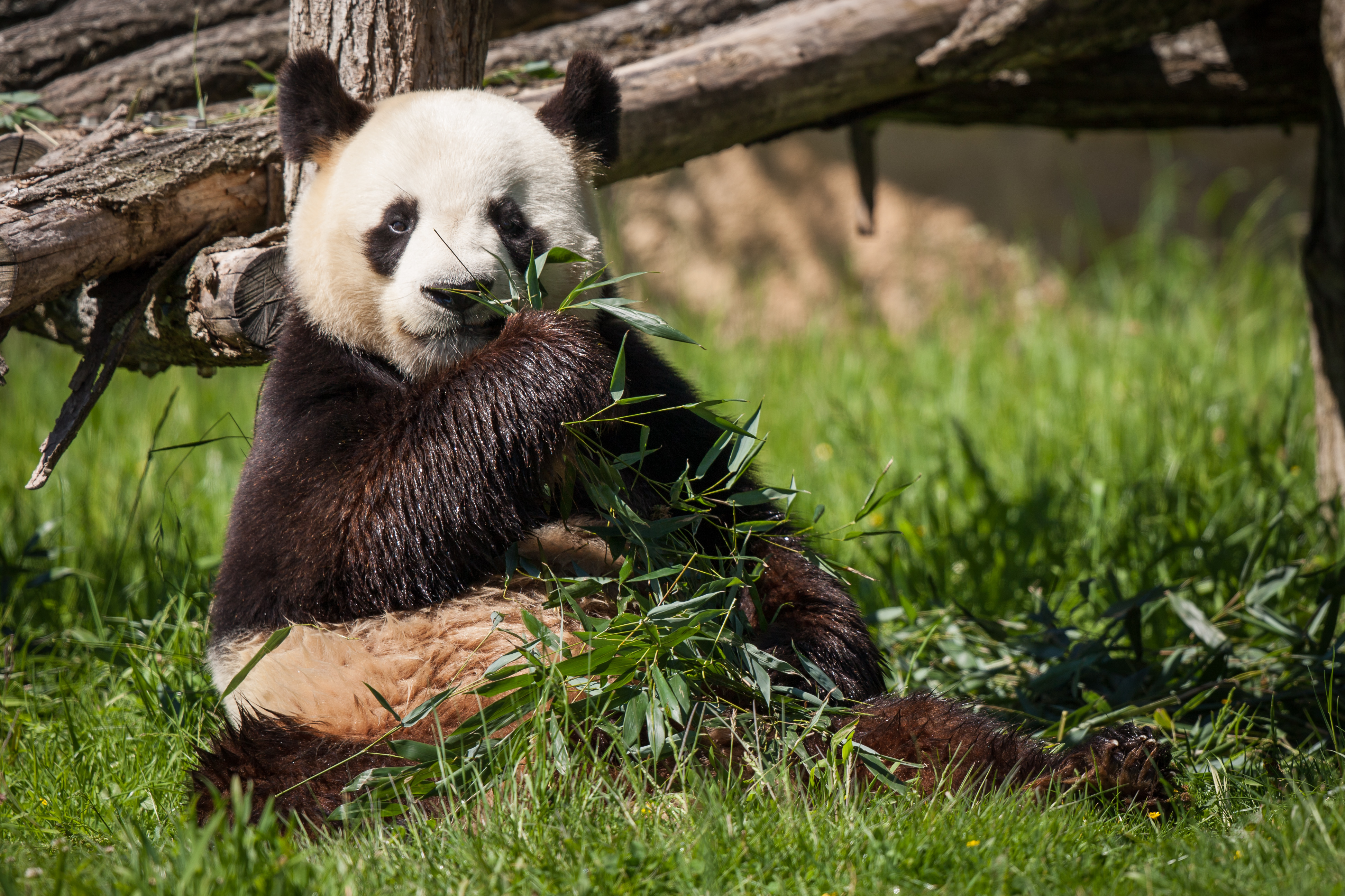 87650 download wallpaper Animals, Panda, Bear, Bamboo, Grass screensavers and pictures for free