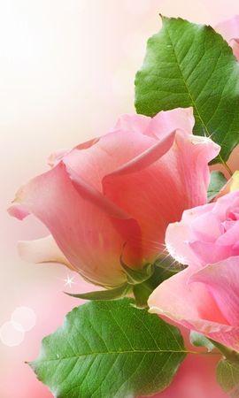 15942 descargar fondo de pantalla Plantas, Flores, Roses: protectores de pantalla e imágenes gratis