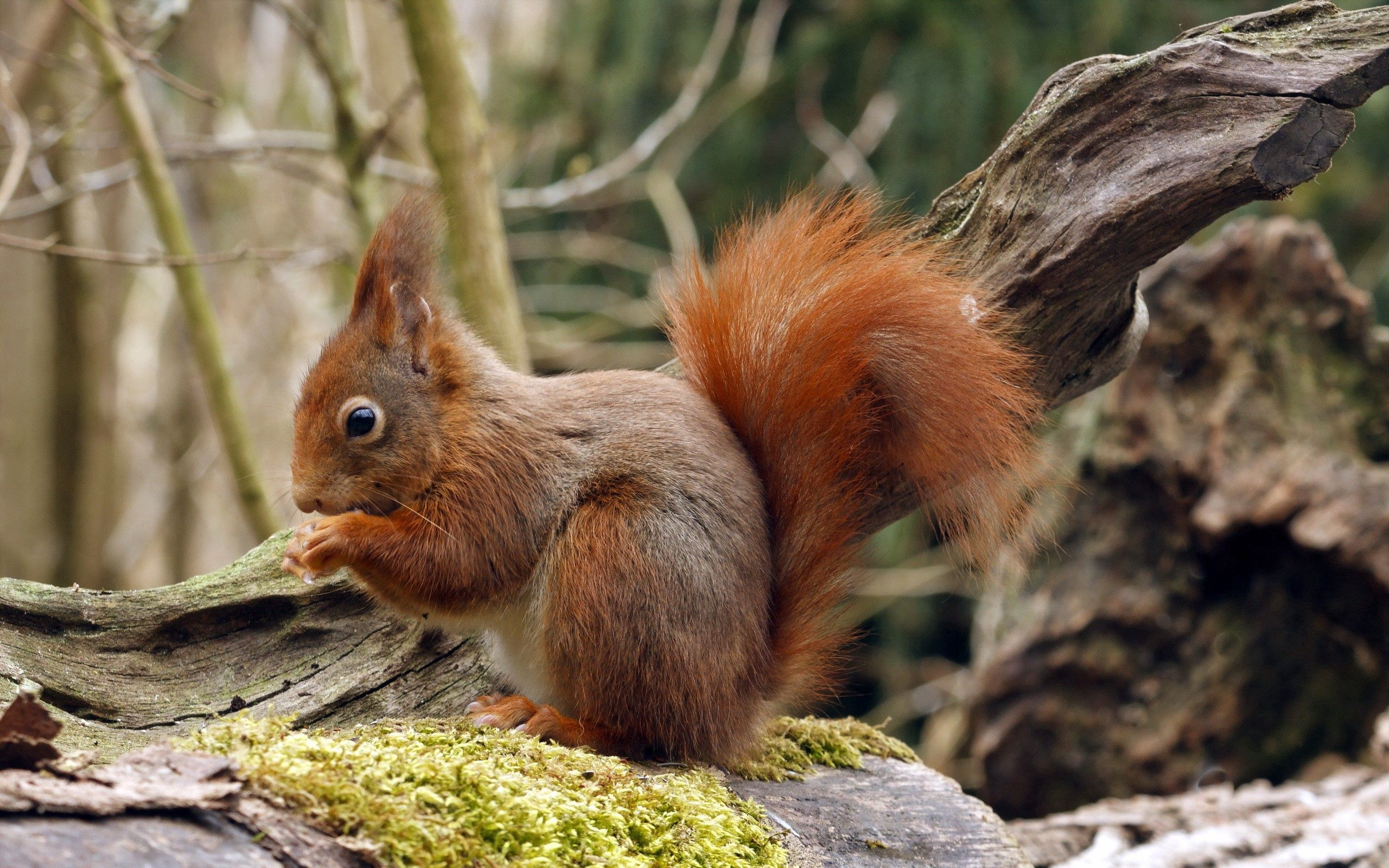 113959 Screensavers and Wallpapers Squirrel for phone. Download Animals, Squirrel, Wood, Sit, Tree, Moss pictures for free