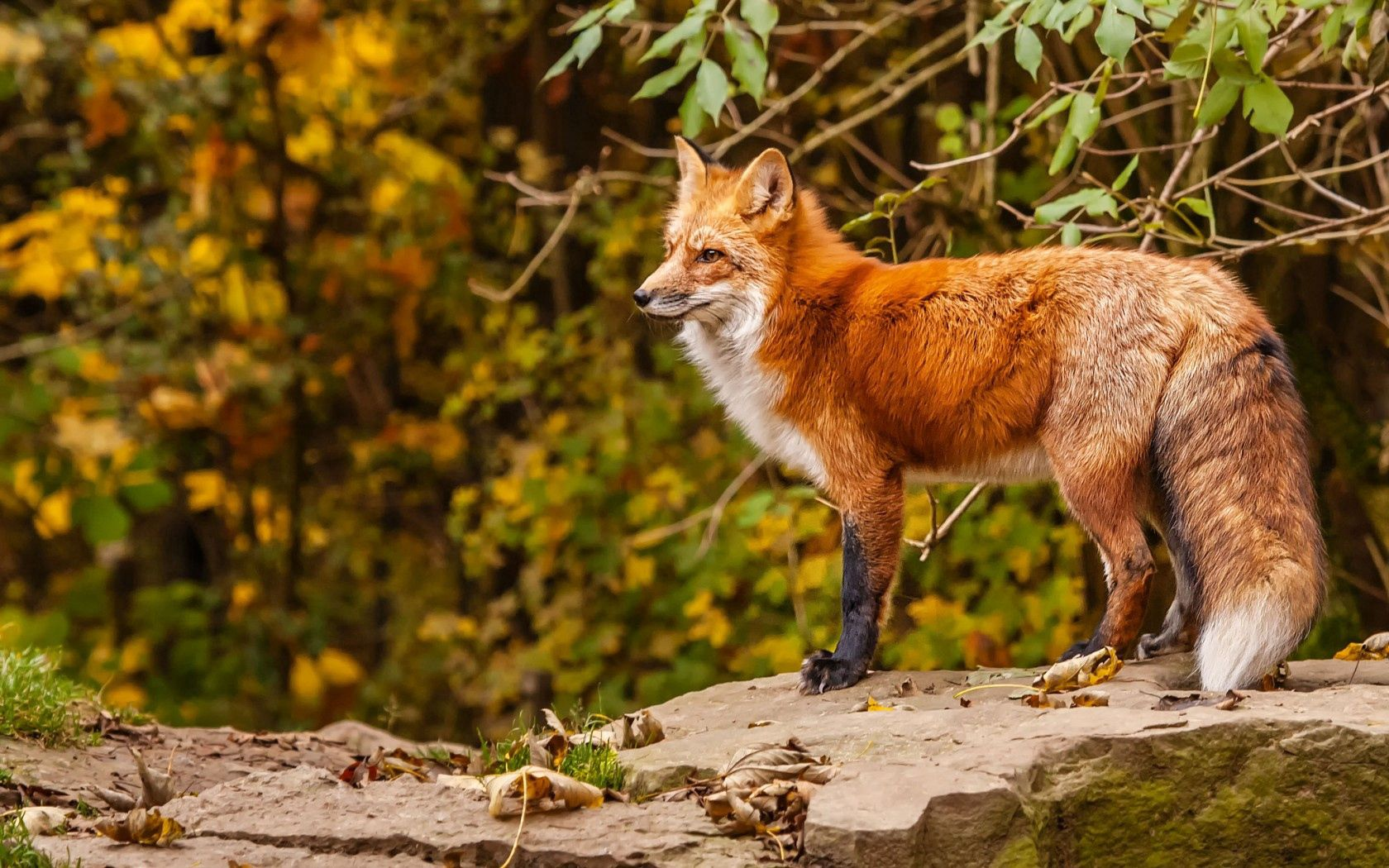Popular Fox images for mobile phone