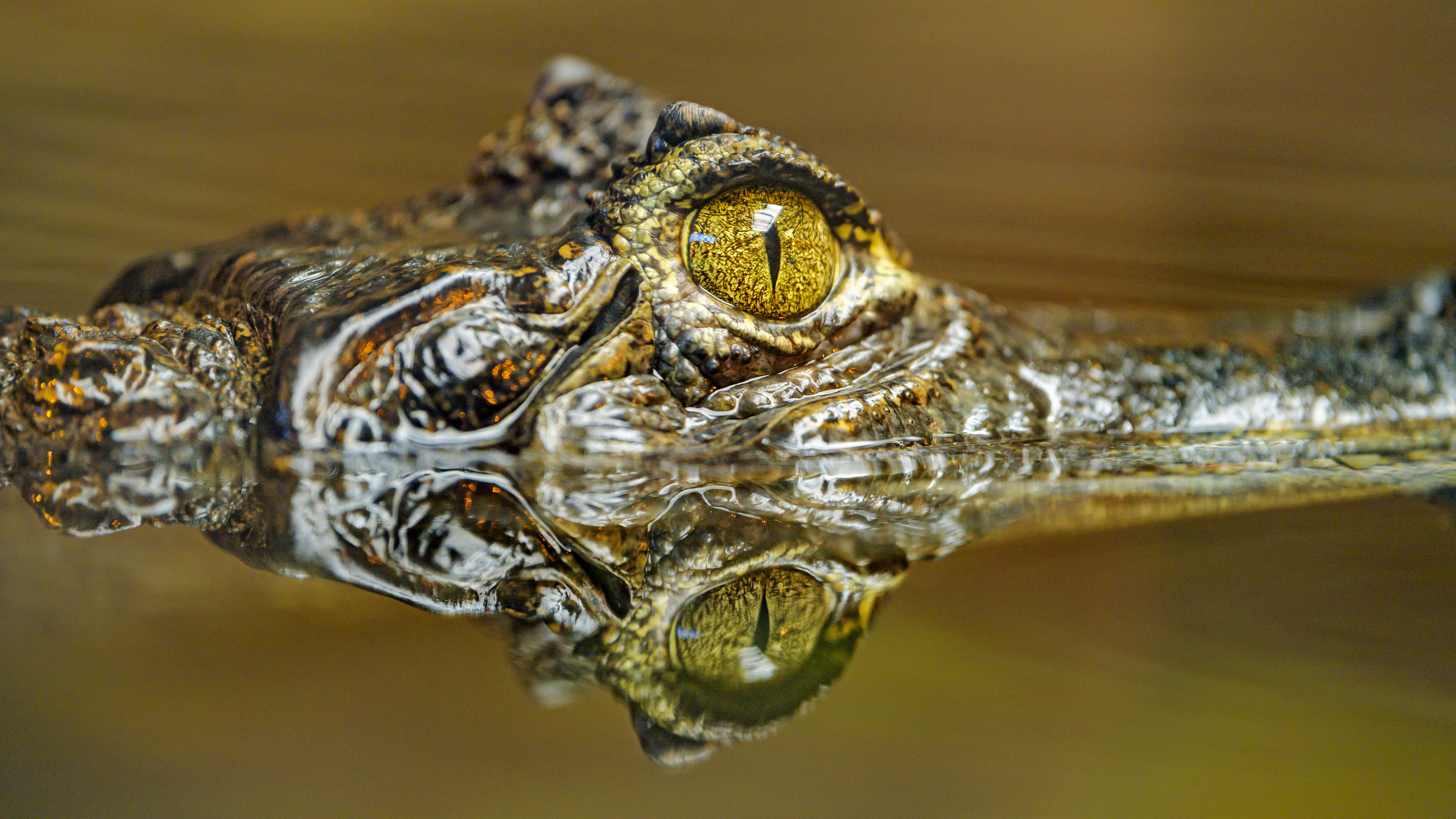 149704 download wallpaper Animals, Crocodile, Eye, Predator, Reflection screensavers and pictures for free