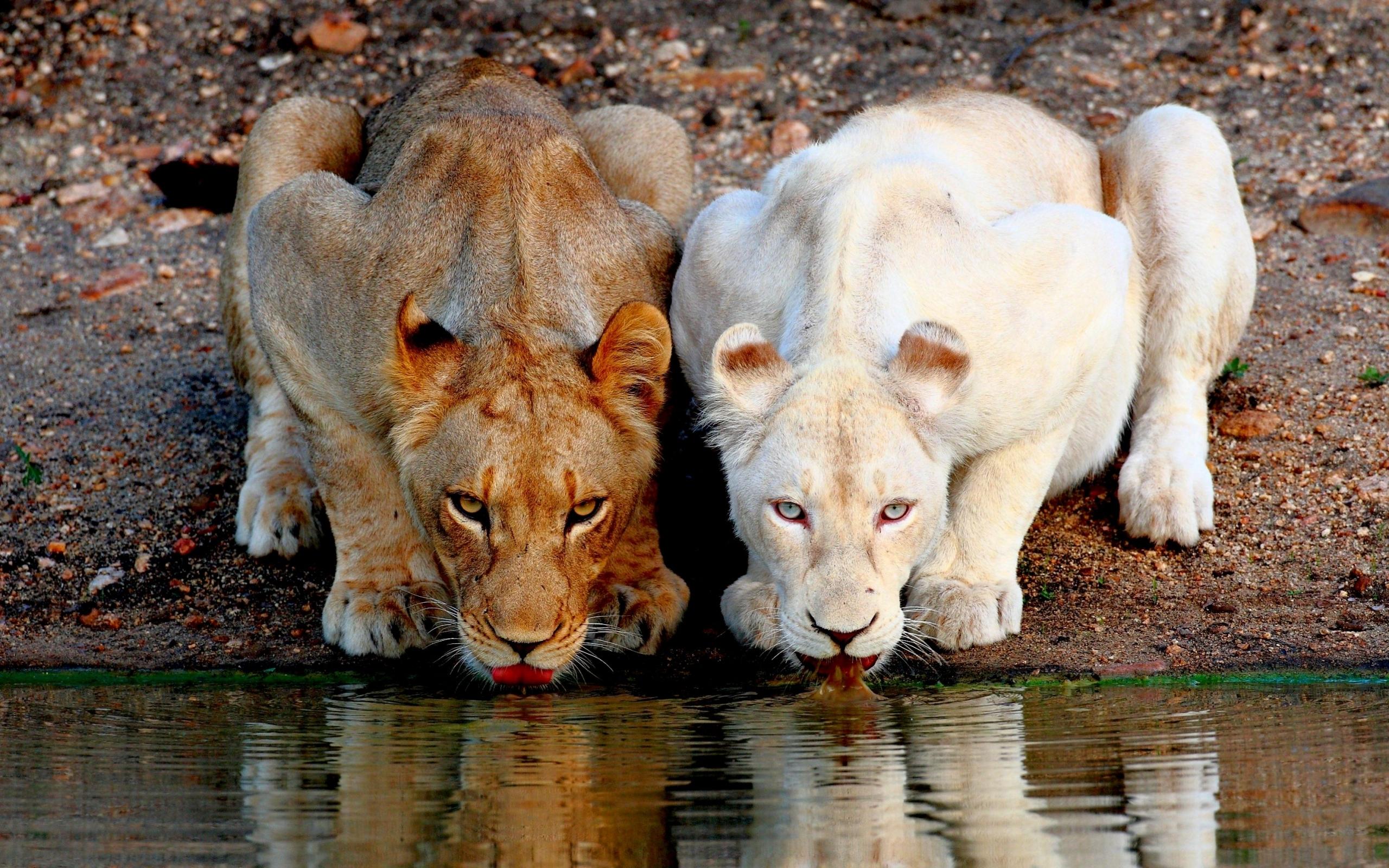 46831 скачать обои Животные, Львы - заставки и картинки бесплатно