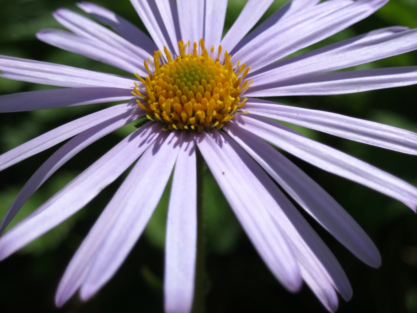 46163 download wallpaper Plants, Flowers, Camomile screensavers and pictures for free