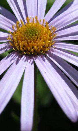 46163 descargar fondo de pantalla Plantas, Flores, Camomila: protectores de pantalla e imágenes gratis