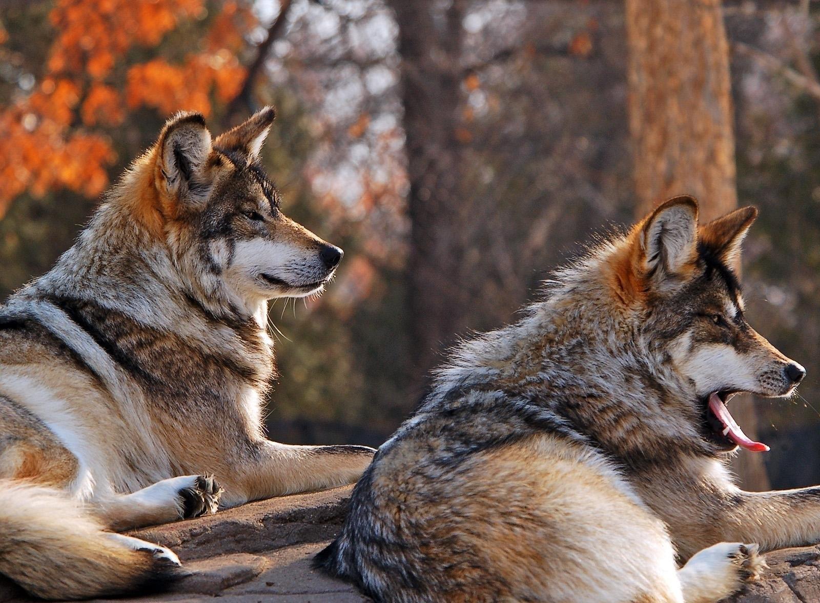 78518 скачать обои Животные, Волки, Пара, Лежать, Зевать - заставки и картинки бесплатно