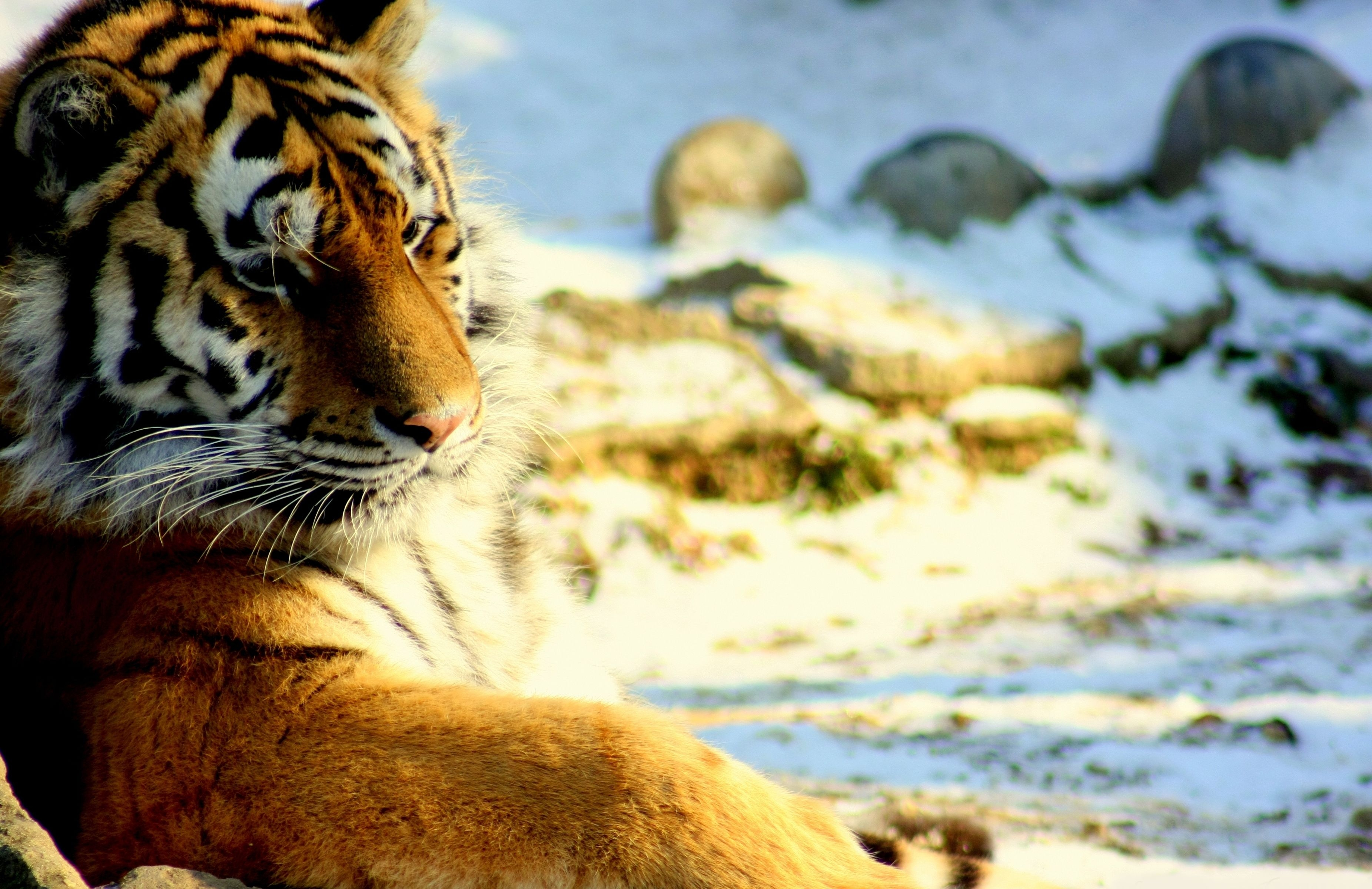 87941 download wallpaper Animals, Tiger, Predator, Snow, To Lie Down, Lie, Big Cat screensavers and pictures for free