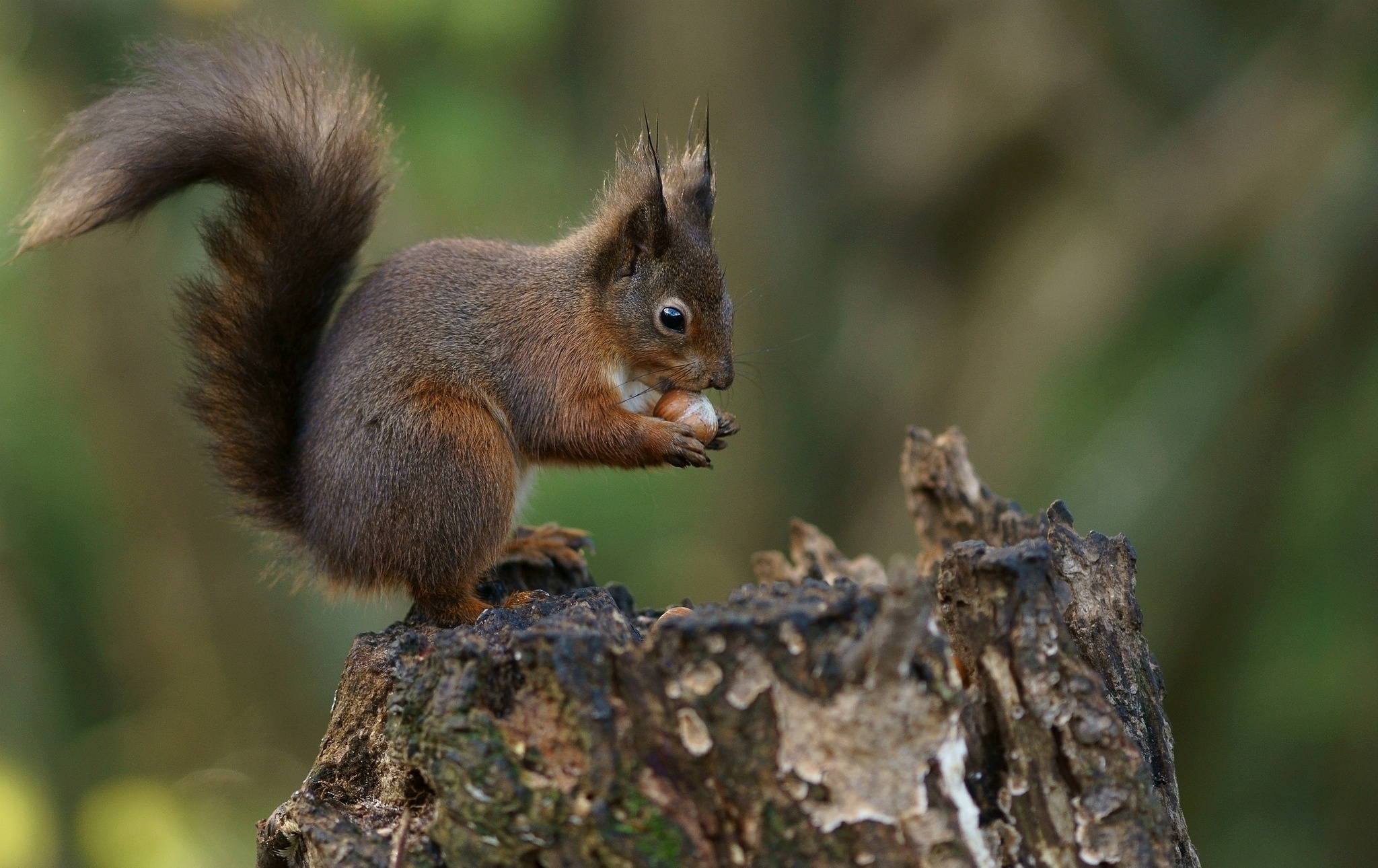 54200 Screensavers and Wallpapers Squirrel for phone. Download Animals, Squirrel, Background, Bark, Nut pictures for free