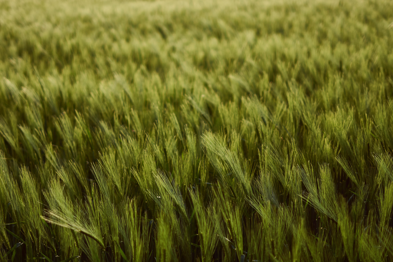 103255 скачать обои Природа, Колосья, Поле, Зеленый, Густой, Урожай, Пшеница - заставки и картинки бесплатно