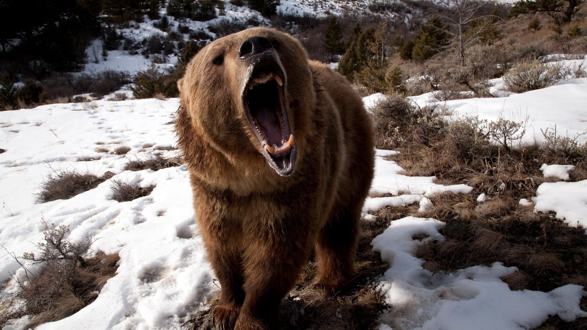 78748 Screensavers and Wallpapers Bear for phone. Download Animals, Winter, Snow, Grin, Brown, Bear, Evil pictures for free