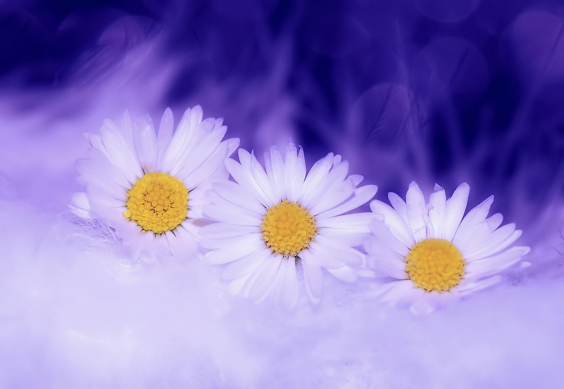 148255 скачать обои Цветы, Макро, Лепестки, Ромашка - заставки и картинки бесплатно