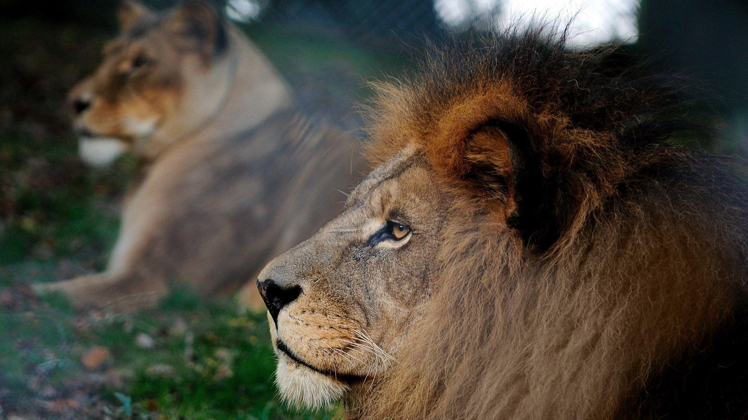 56464 скачать обои Животные, Лев, Грива, Голова, Профиль - заставки и картинки бесплатно