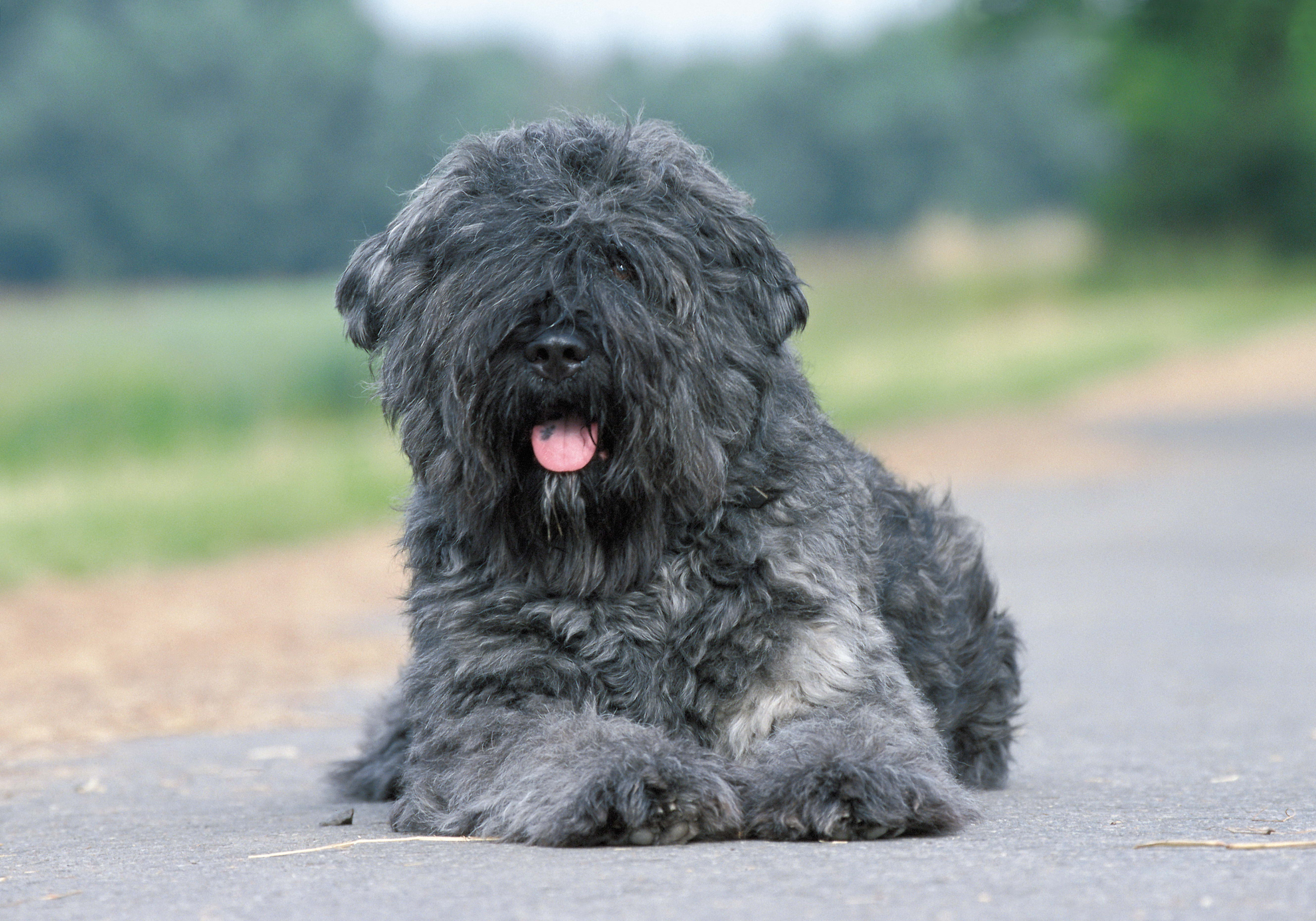 75478 download wallpaper Animals, Dog, Wool, Asphalt screensavers and pictures for free
