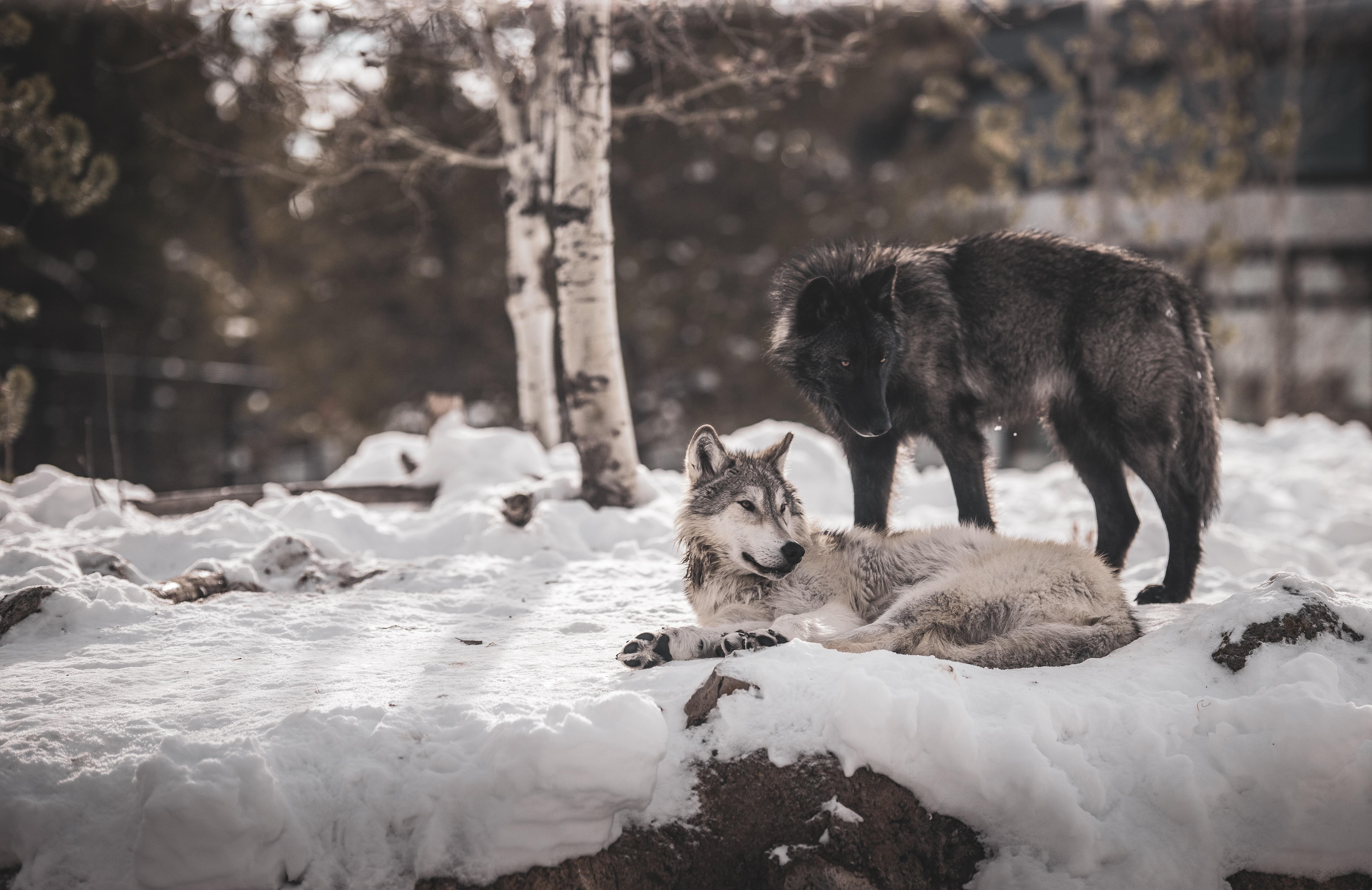62513 Hintergrundbild herunterladen Wölfe, Tiere, Schnee, Freundschaft, Raubtiere - Bildschirmschoner und Bilder kostenlos