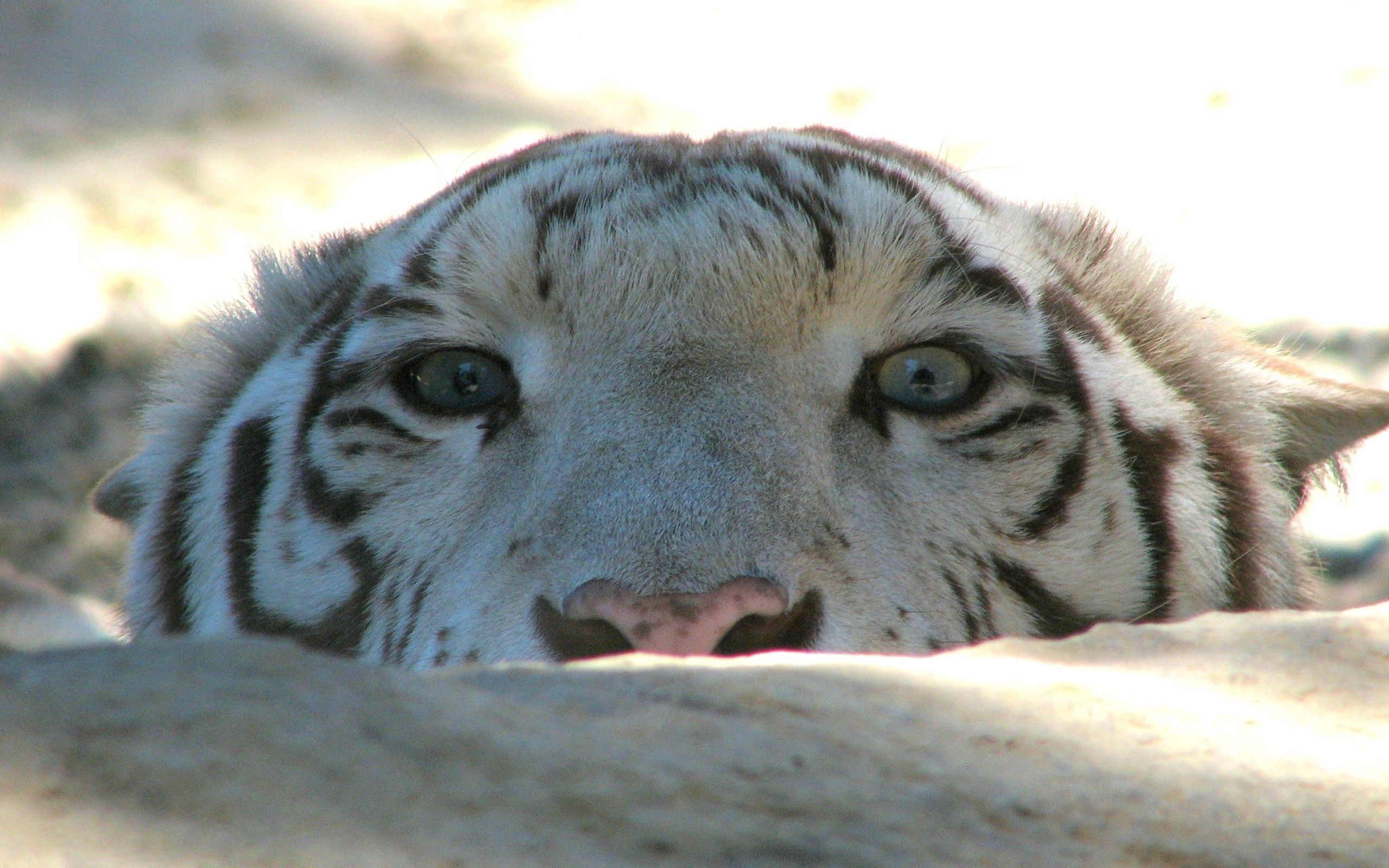 134968 download wallpaper Animals, Tiger, Muzzle, Rock, Stone, Sight, Opinion, Predator screensavers and pictures for free