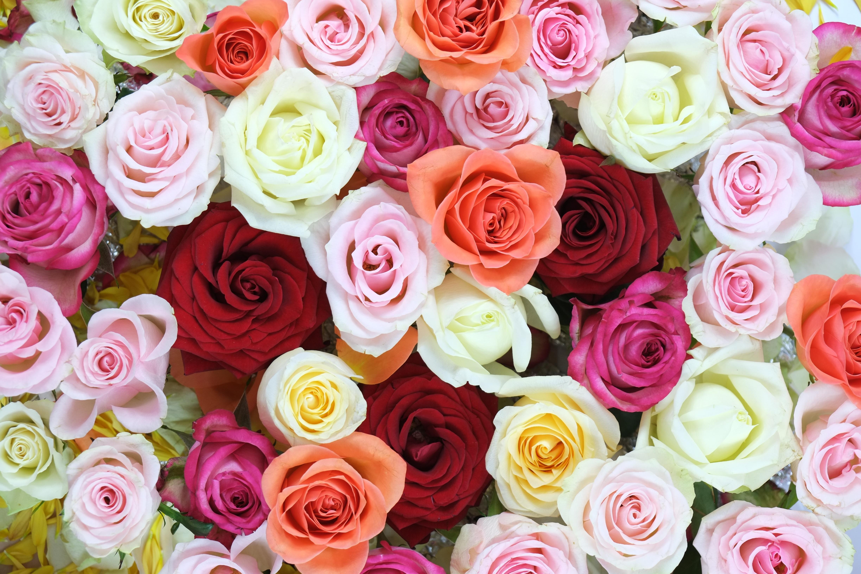 79637 Заставки и Обои Розы на телефон. Скачать Цветы, Розы, Разноцветный, Букет картинки бесплатно