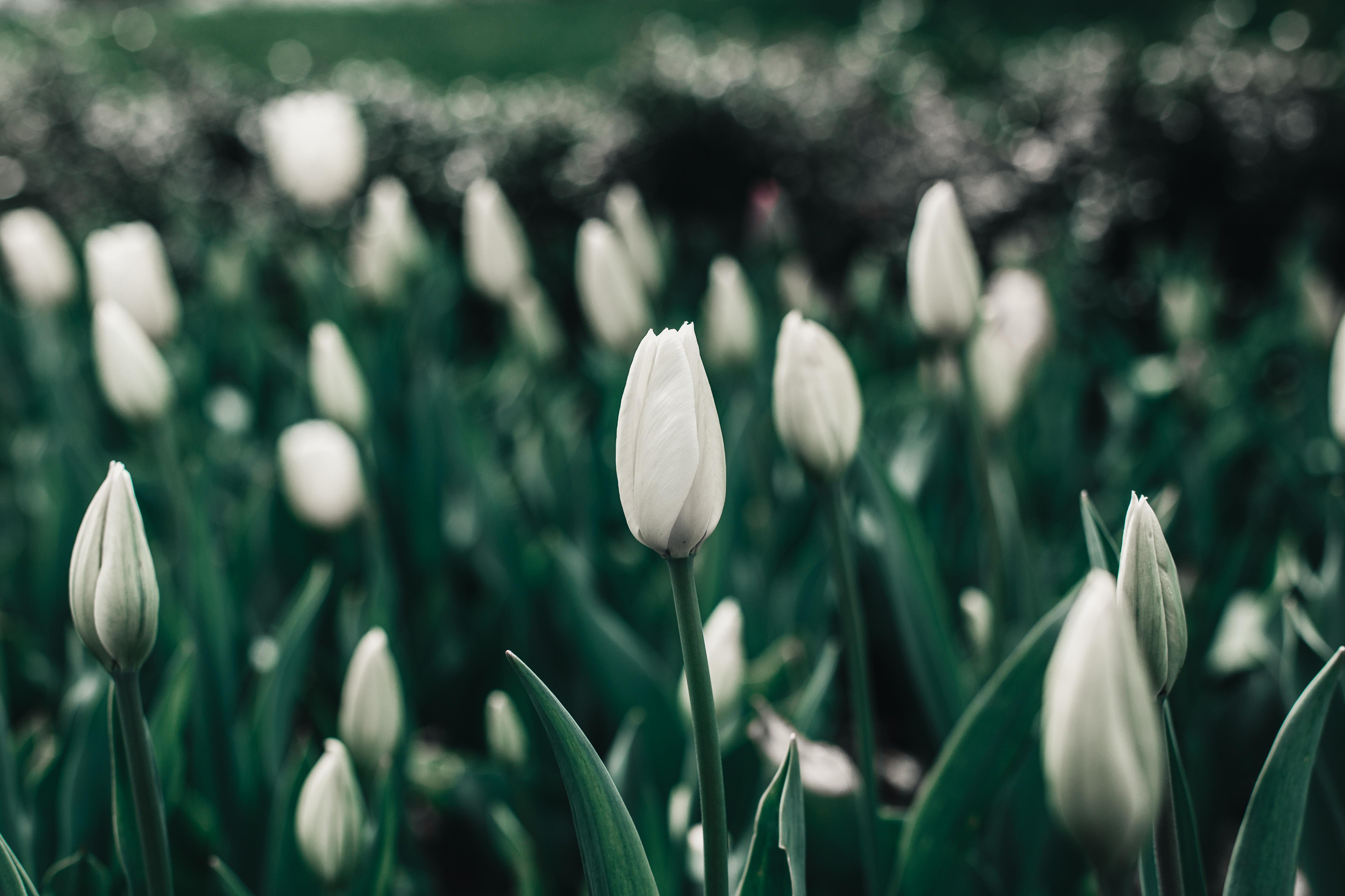 132422 Hintergrundbild herunterladen Tulpen, Blumen, Blumenbeet, Frühling, Blüht, Blüten - Bildschirmschoner und Bilder kostenlos