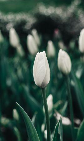 132422 скачать Белые обои на телефон бесплатно, Цветы, Клумба, Цветет, Весна, Тюльпаны Белые картинки и заставки на мобильный