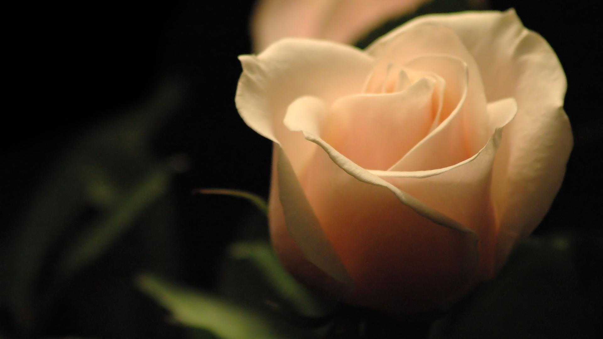 26267 скачать обои Растения, Цветы, Розы - заставки и картинки бесплатно