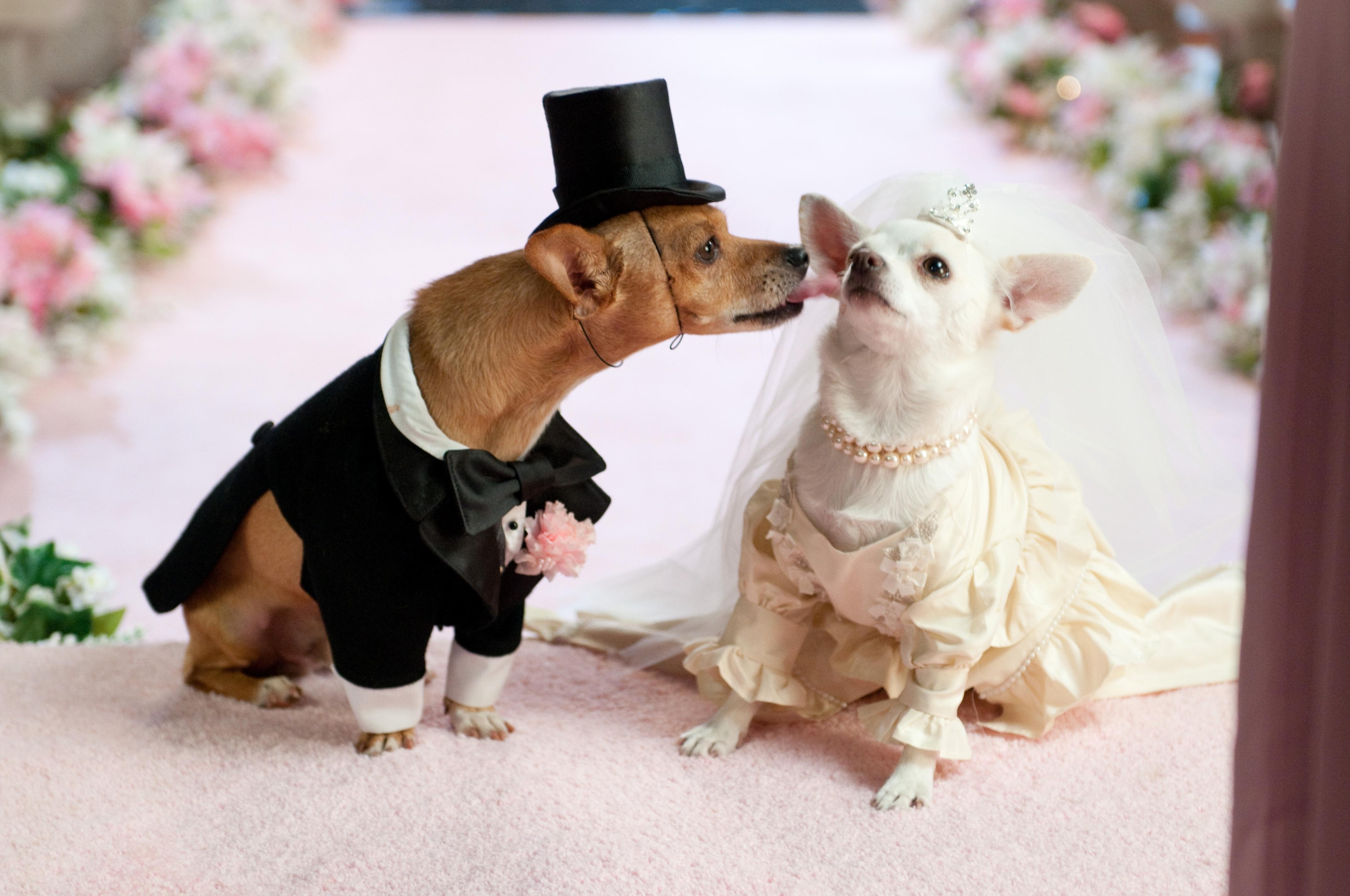 60538 скачать обои Свадьба, Животные, Собаки, Пара, Костюм - заставки и картинки бесплатно