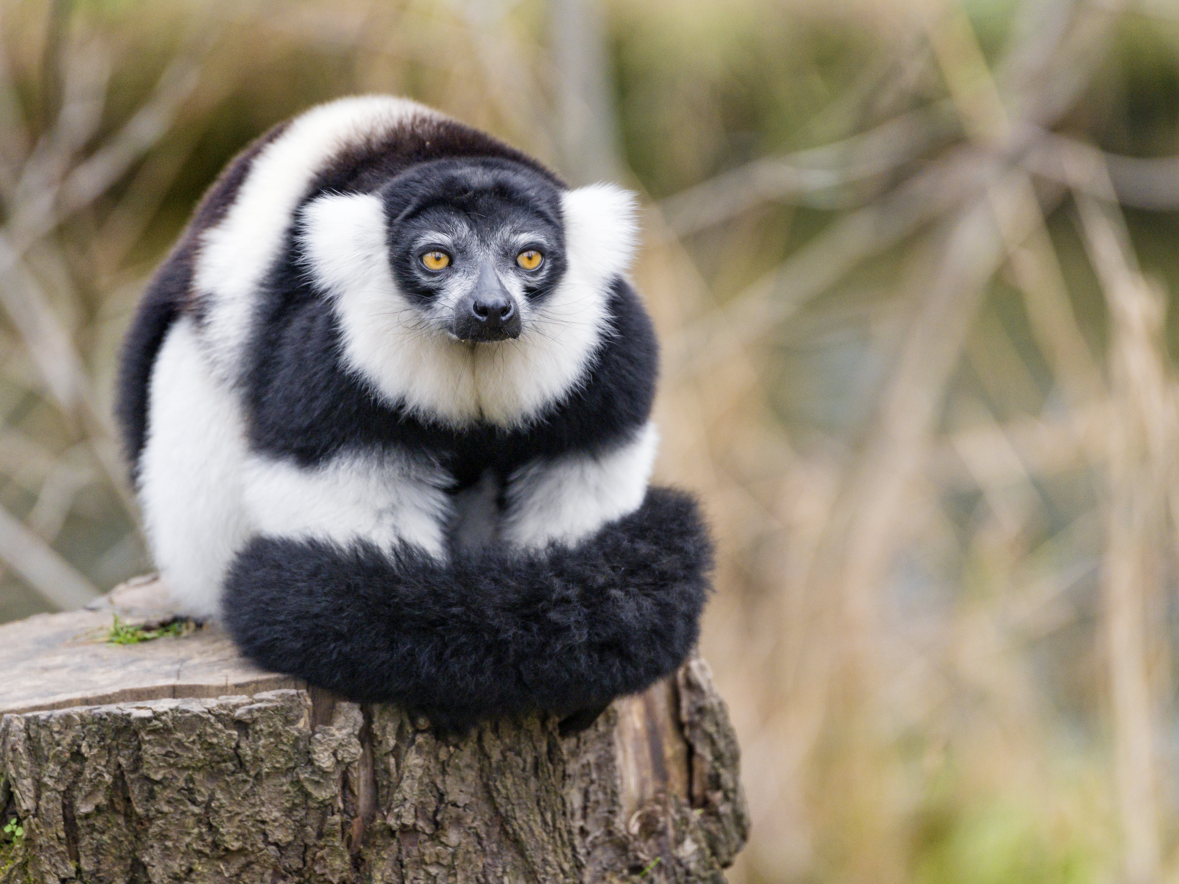 62968 download wallpaper Animals, Lemur, Animal, Fluffy, Striped screensavers and pictures for free