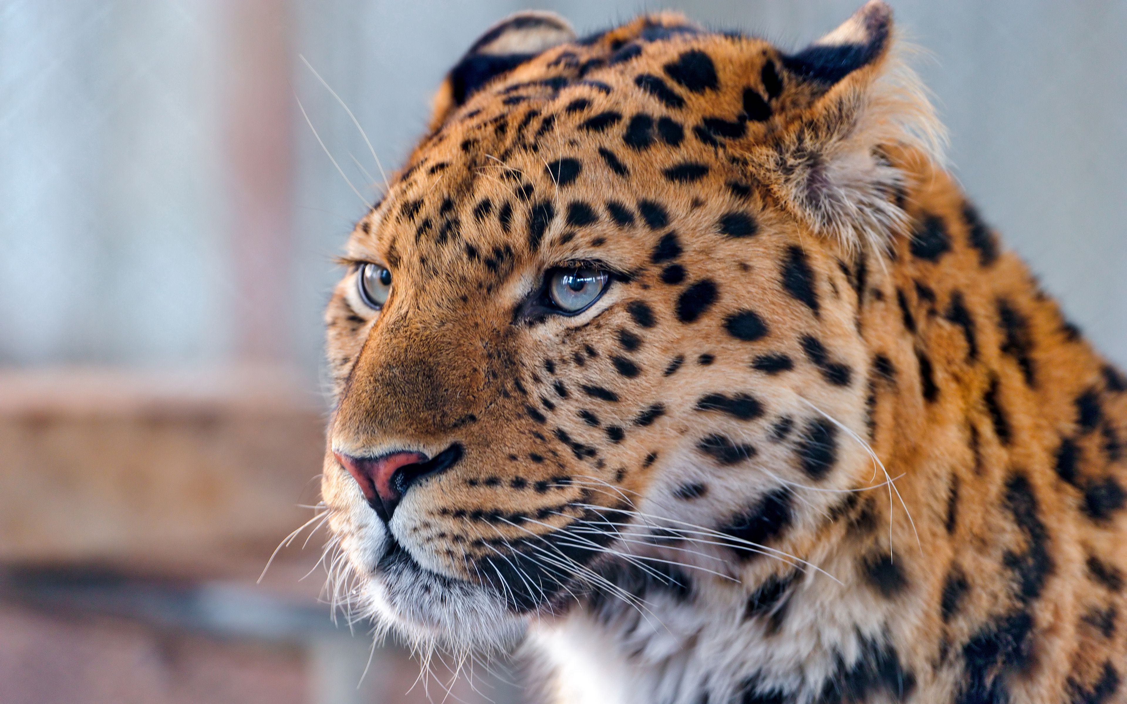 Download mobile wallpaper Animals, Leopard, Muzzle, Spotted, Spotty, Predator for free.