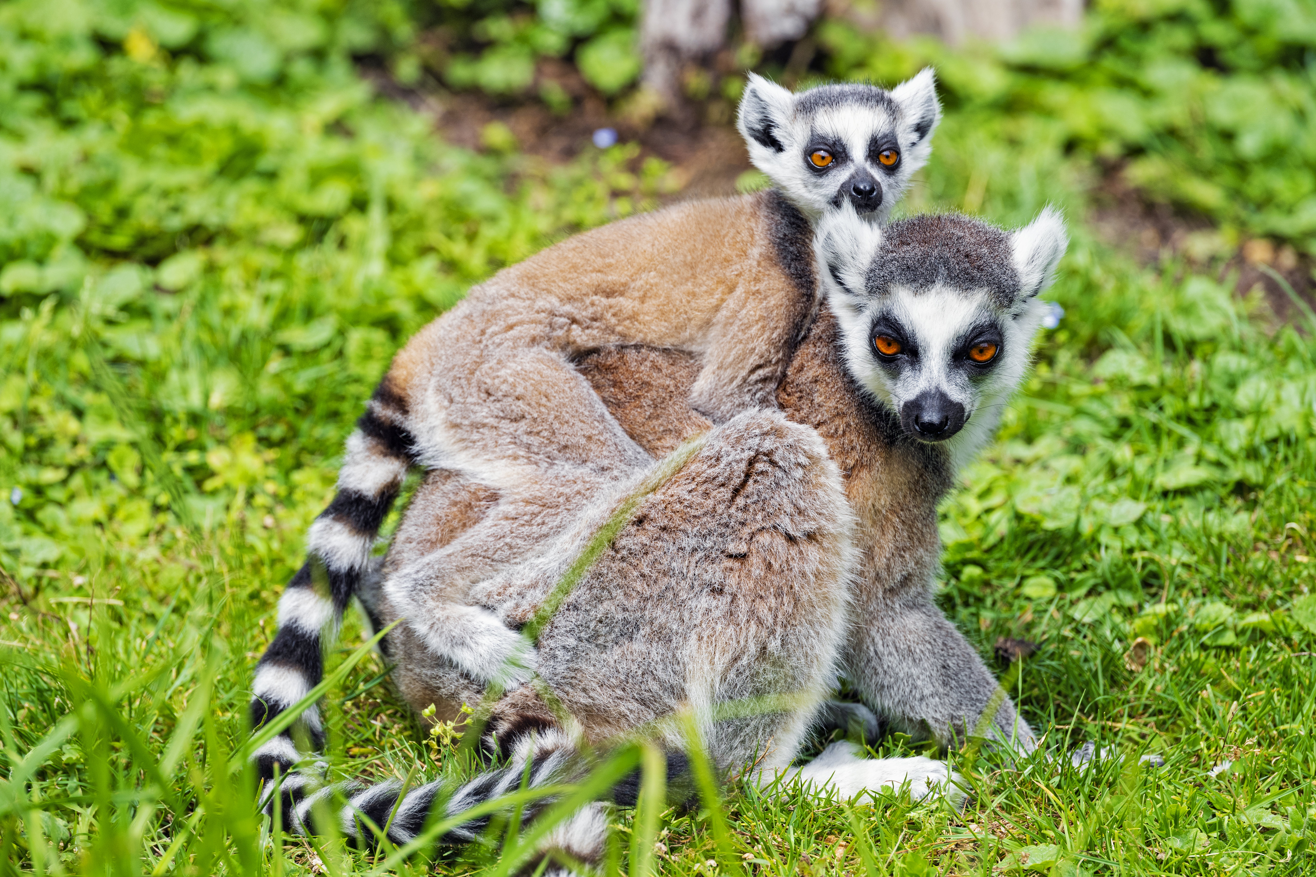 154650 download wallpaper Animals, Lemur, Young, Joey, Animal, Family screensavers and pictures for free