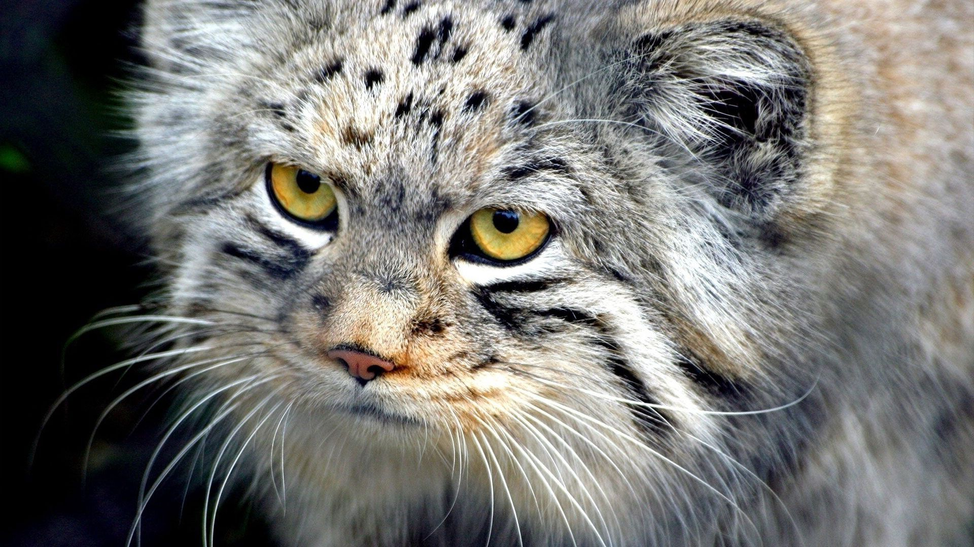 83878 download wallpaper Animals, Mustache, Moustache, Muzzle, Wool, Eyes, Pallas' Cat, Manul screensavers and pictures for free