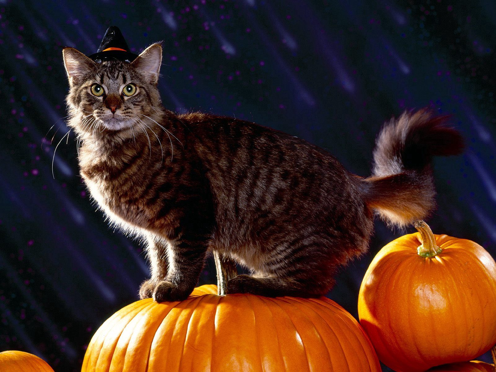 90061 Screensavers and Wallpapers Halloween for phone. Download Animals, Halloween, Pumpkin, Cat, Fluffy pictures for free