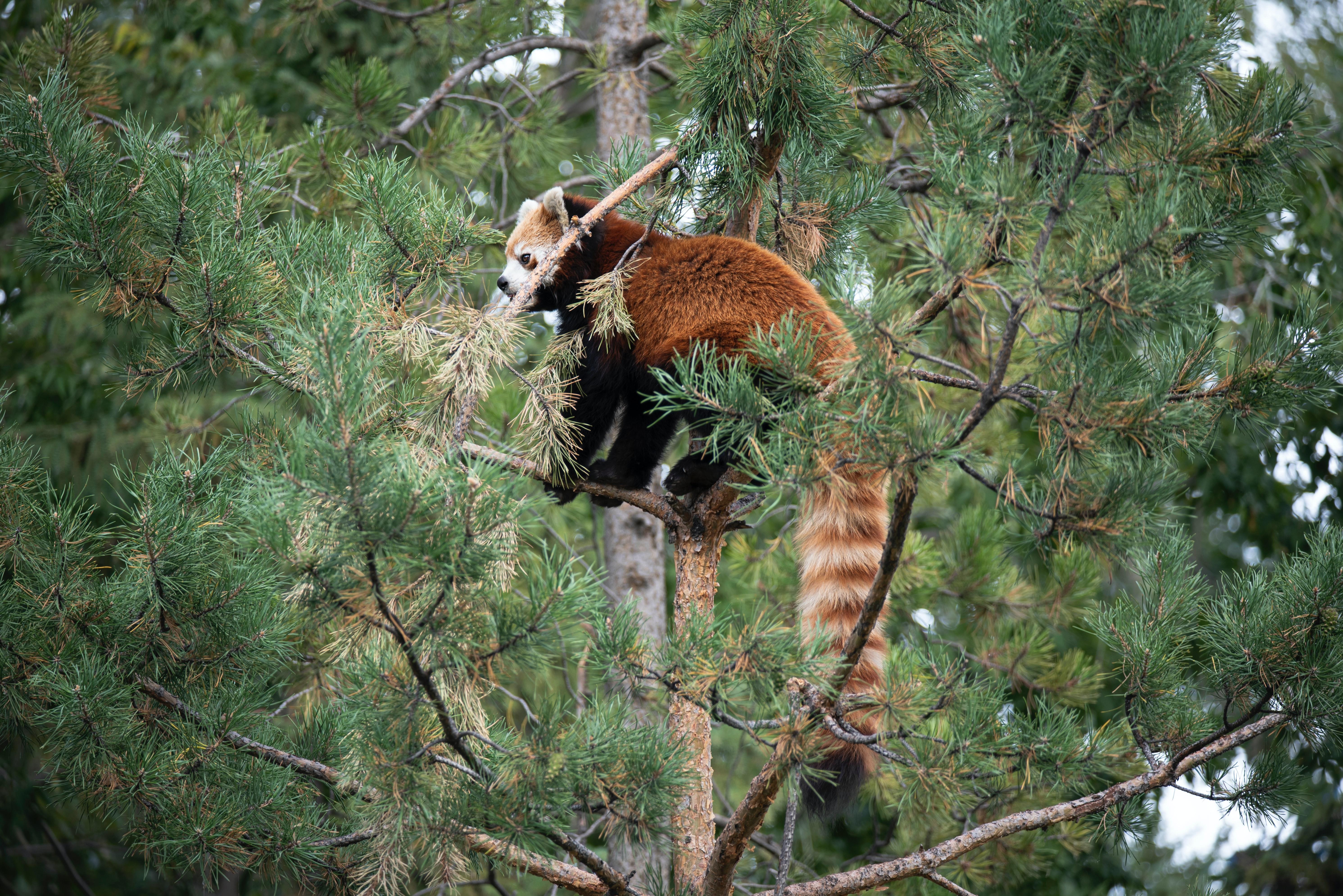 94264 скачать обои Животные, Красная Панда, Дерево, Животное, Коричневый, Дикая Природа - заставки и картинки бесплатно