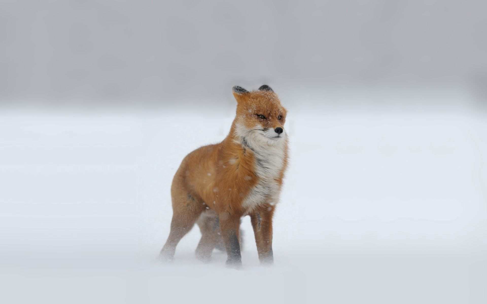 112366 download wallpaper Animals, Fox, Redhead, Looks, Winter, Snow, Snowstorm screensavers and pictures for free