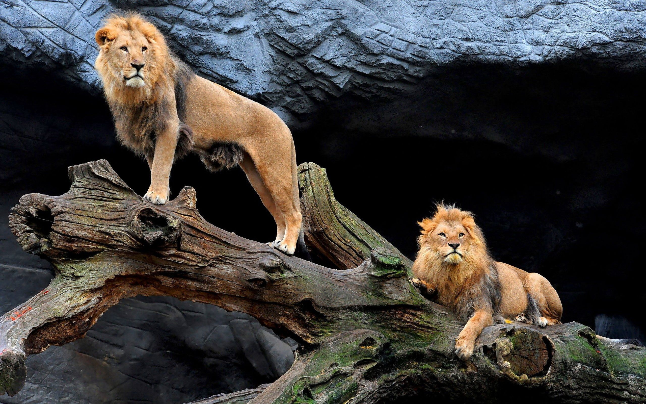 114521 download wallpaper Animals, Couple, Pair, Wood, Tree, Sit, Lions screensavers and pictures for free