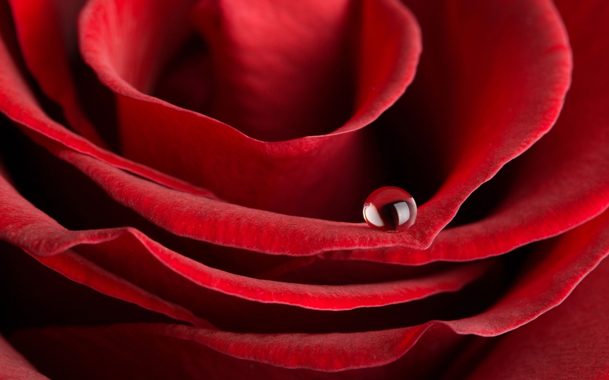 25813 download wallpaper Plants, Flowers, Roses, Drops screensavers and pictures for free