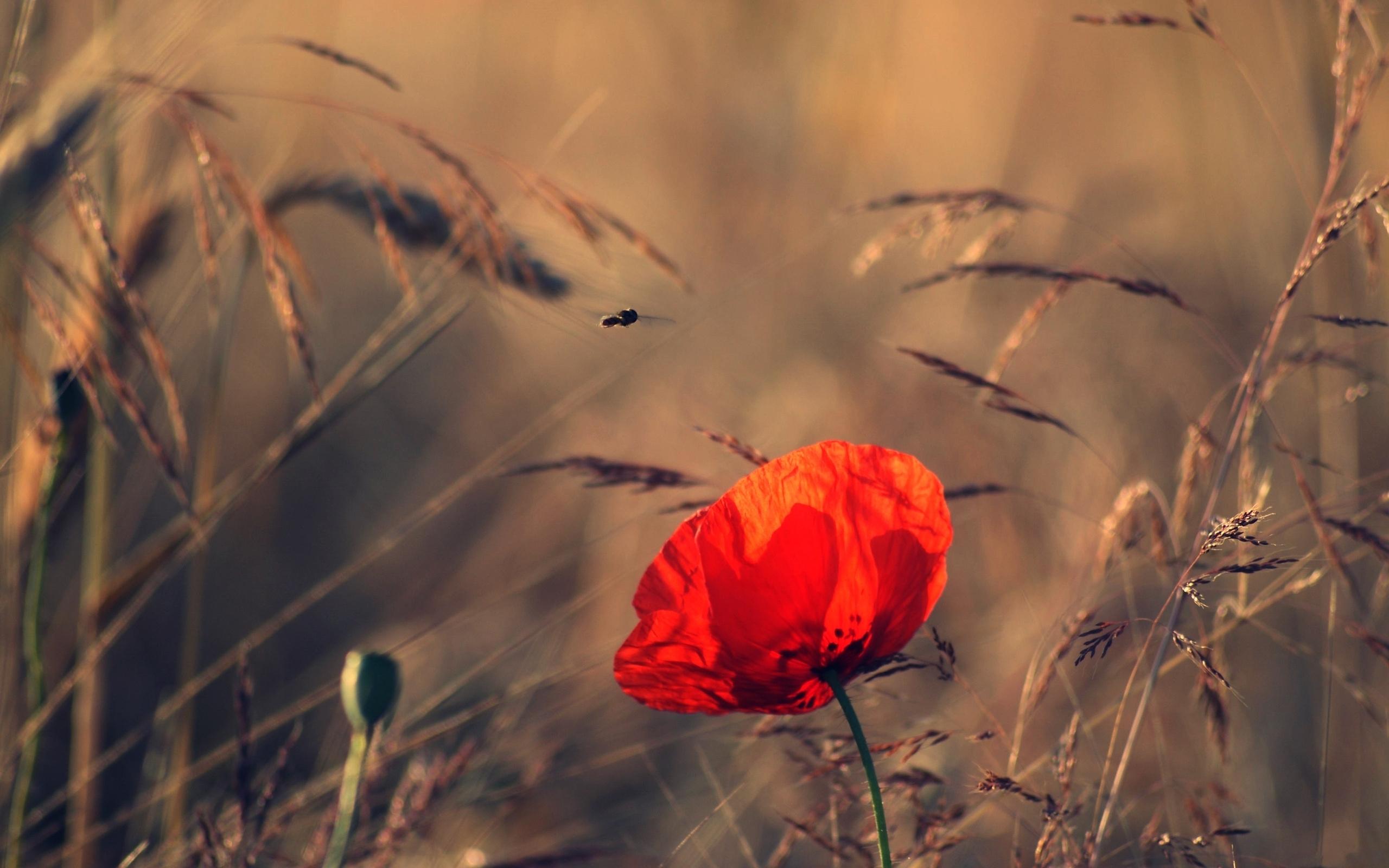 43376 скачать обои Растения, Цветы, Маки - заставки и картинки бесплатно