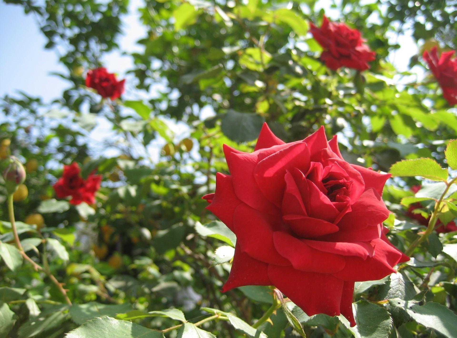 131824 скачать обои Цветы, Сад, Лето, Солнечно, Крупный План, Розы - заставки и картинки бесплатно