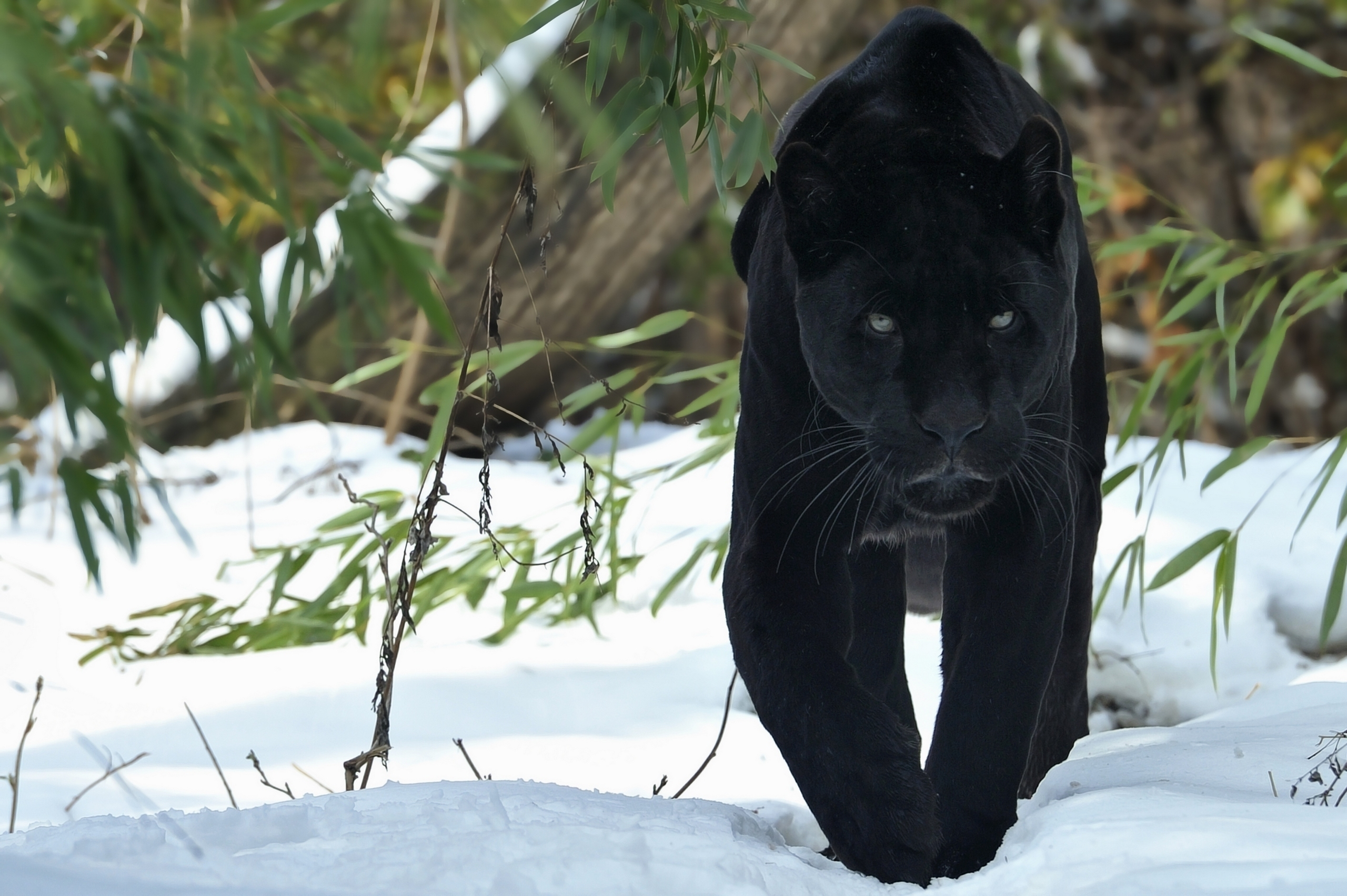 130381 download wallpaper Winter, Animals, Snow, Predator, Big Cat, Stroll, Panther screensavers and pictures for free