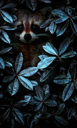 71561 download wallpaper Animals, Raccoon, Leaves, Disguise, Camouflage screensavers and pictures for free
