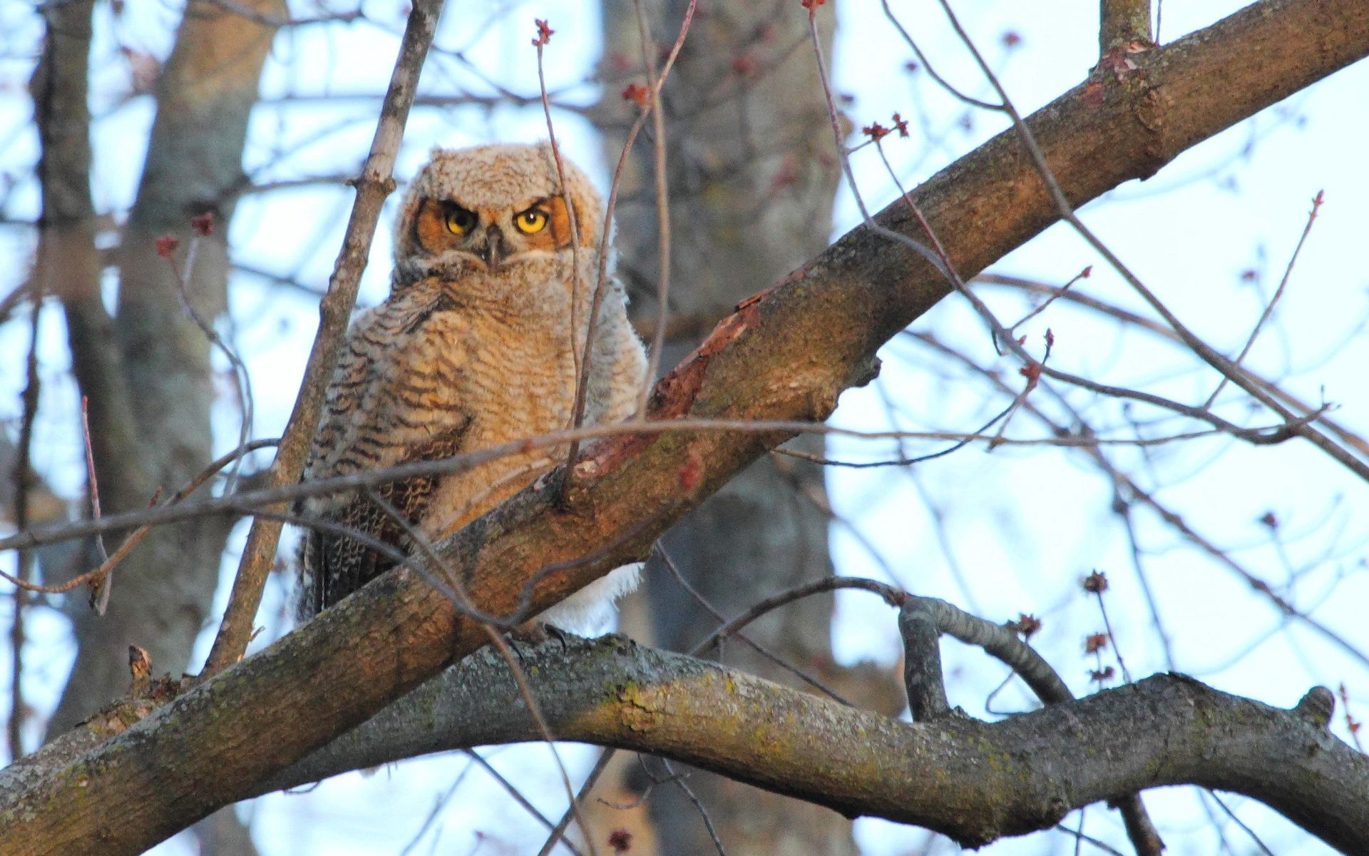 142412 download wallpaper Animals, Owl, Wood, Tree, Bird, Predator screensavers and pictures for free