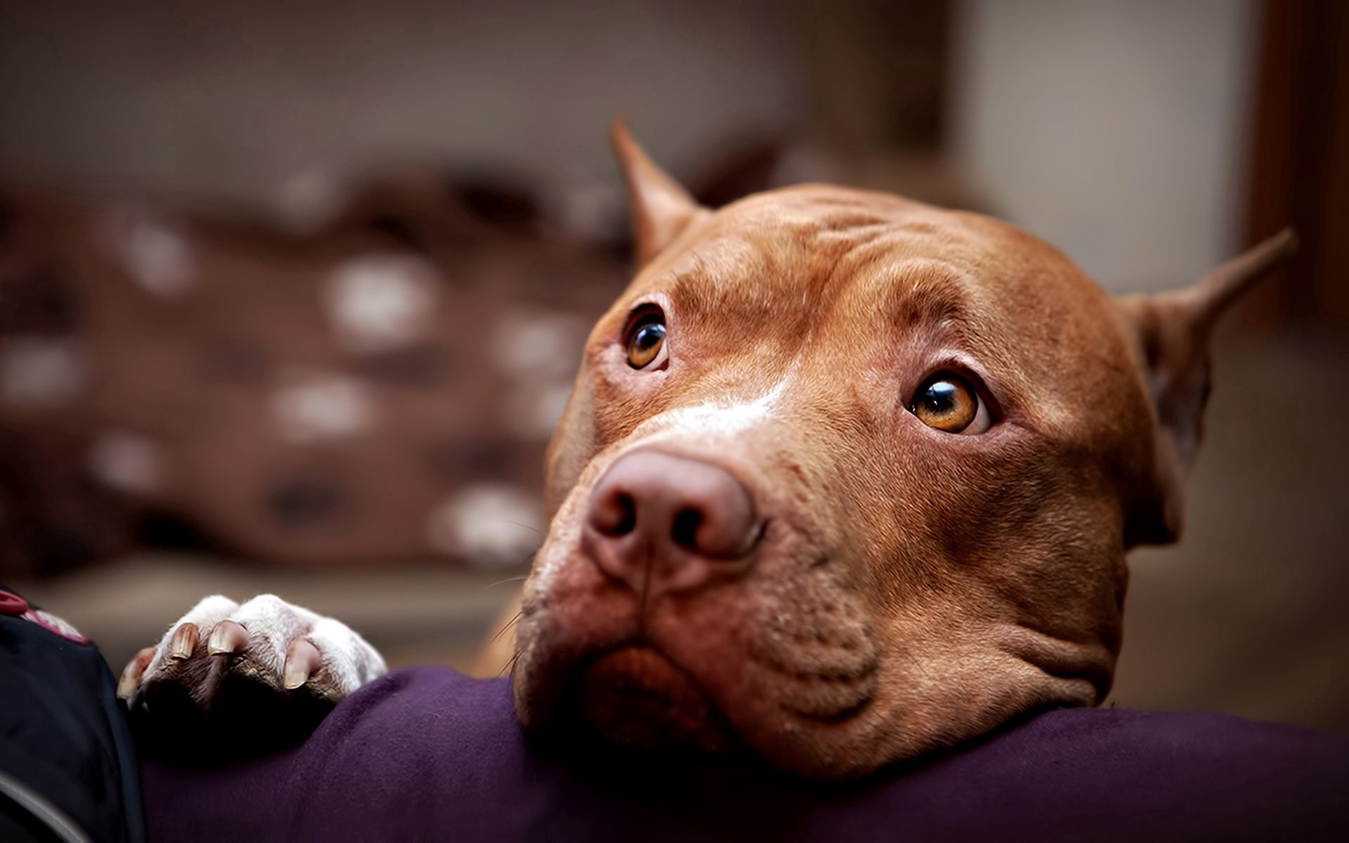 127991 download wallpaper Dog, Animals, Muzzle, Sadness, Sight, Opinion, Sorrow, Pitbull, Pit Bull screensavers and pictures for free