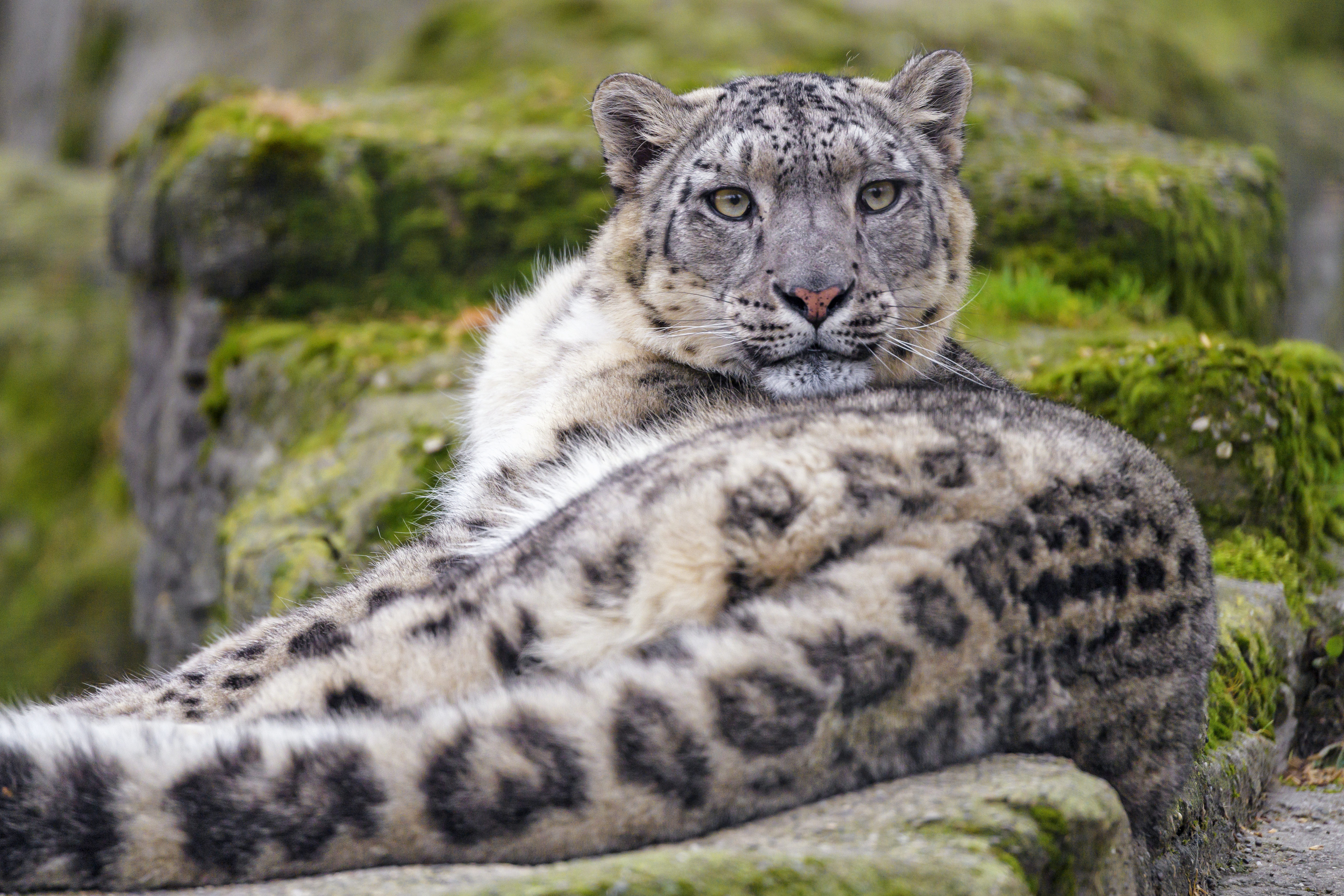 94128 download wallpaper Animals, Irbis, Animal, Sight, Opinion, Predator, Big Cat, Snow Leopard screensavers and pictures for free