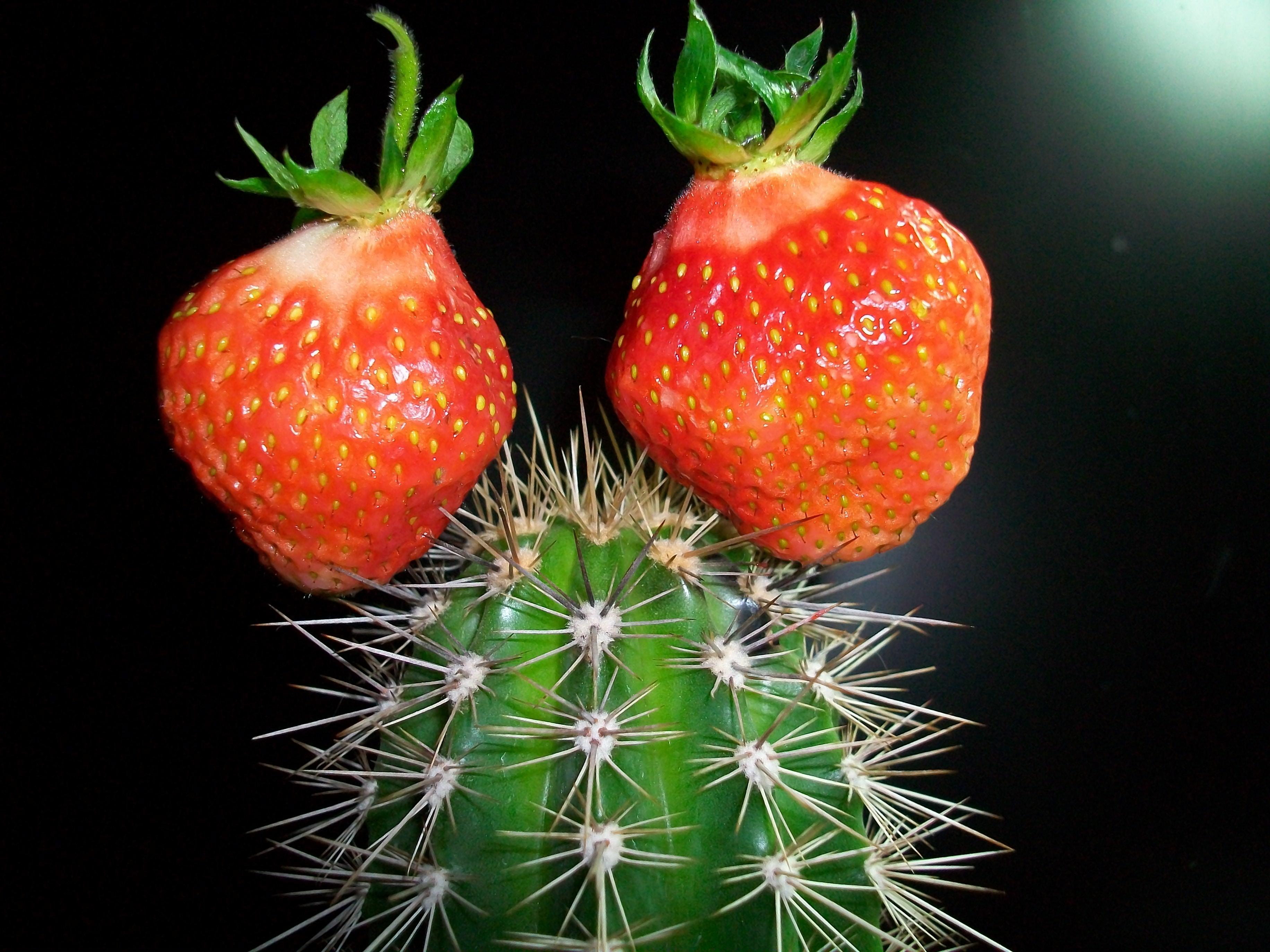 123569 descargar fondo de pantalla Miscelánea, Misceláneo, Cactus, Cacto, Fresa, Creativo: protectores de pantalla e imágenes gratis