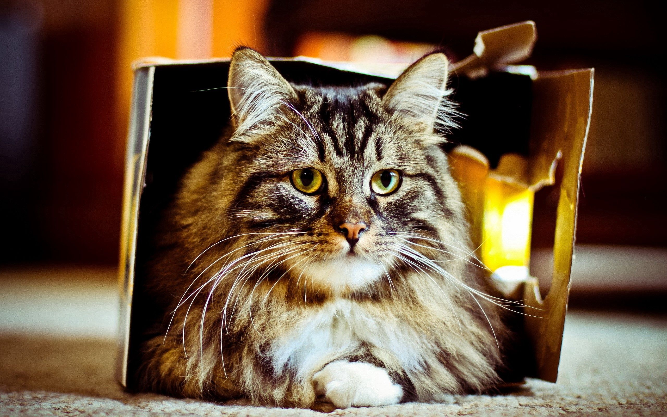 140719 download wallpaper Animals, Cat, Box, To Lie Down, Lie, Fluffy screensavers and pictures for free