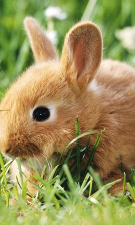 18751 download wallpaper Animals, Rabbits screensavers and pictures for free