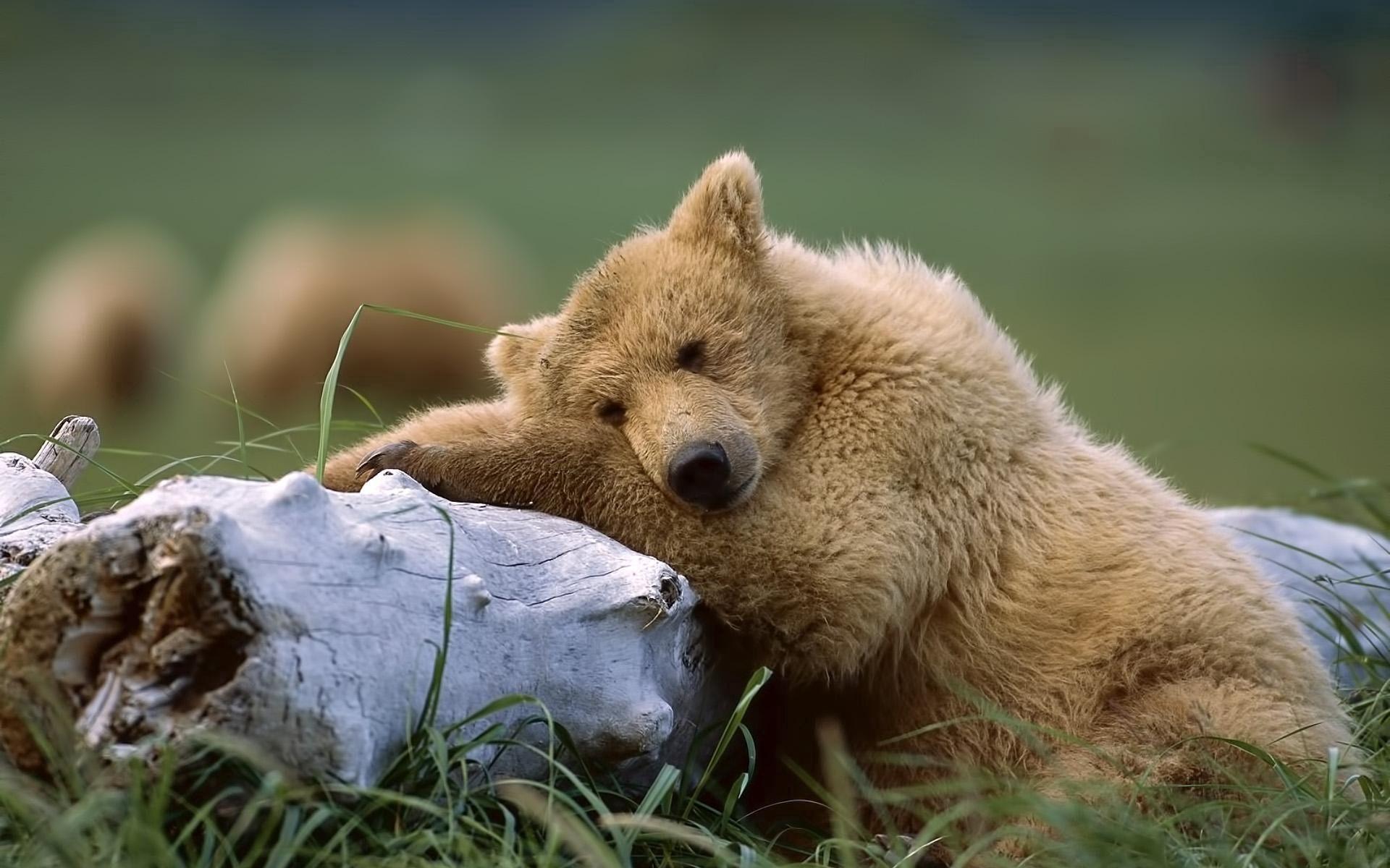 102624 скачать обои Животные, Медведь, Лежать, Трава, Бревно - заставки и картинки бесплатно